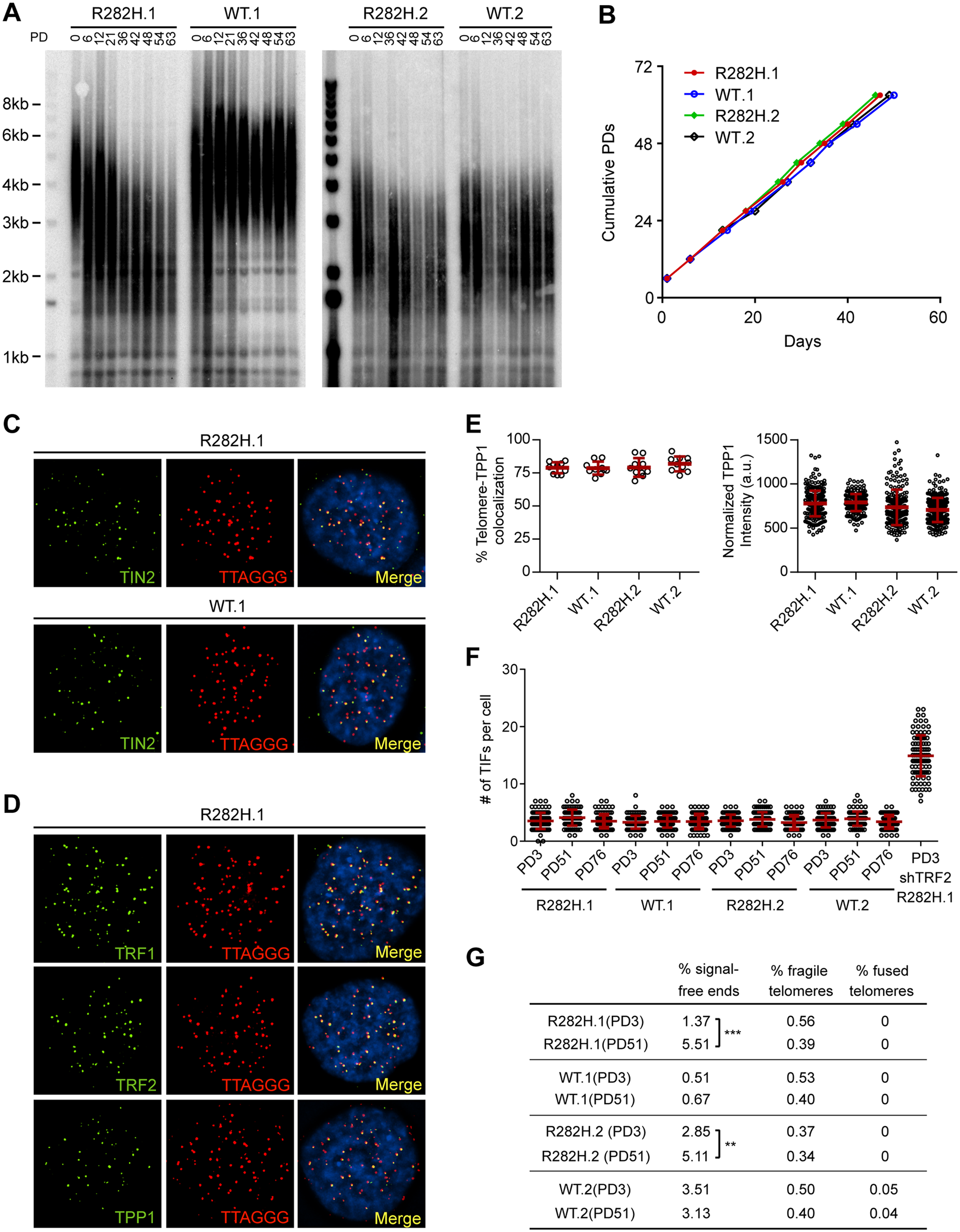 Heterozygous TIN2-R282H mutation induces progressive telomere shortening, but not gross telomere deprotection, in HCT116 cells.