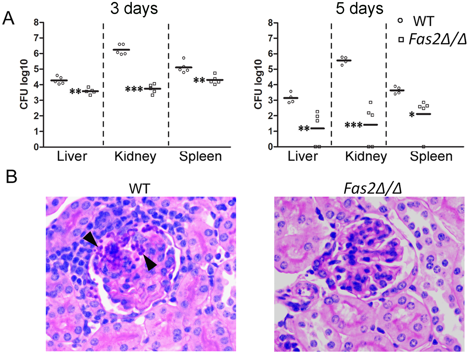 <i>Fas2Δ/Δ</i> yeast cells are attenuated in vivo.
