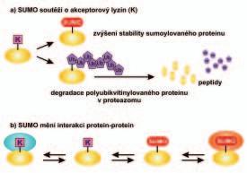 Schéma účinku sumoylace proteinu na jeho stabilitu a interakce s jinými proteiny.