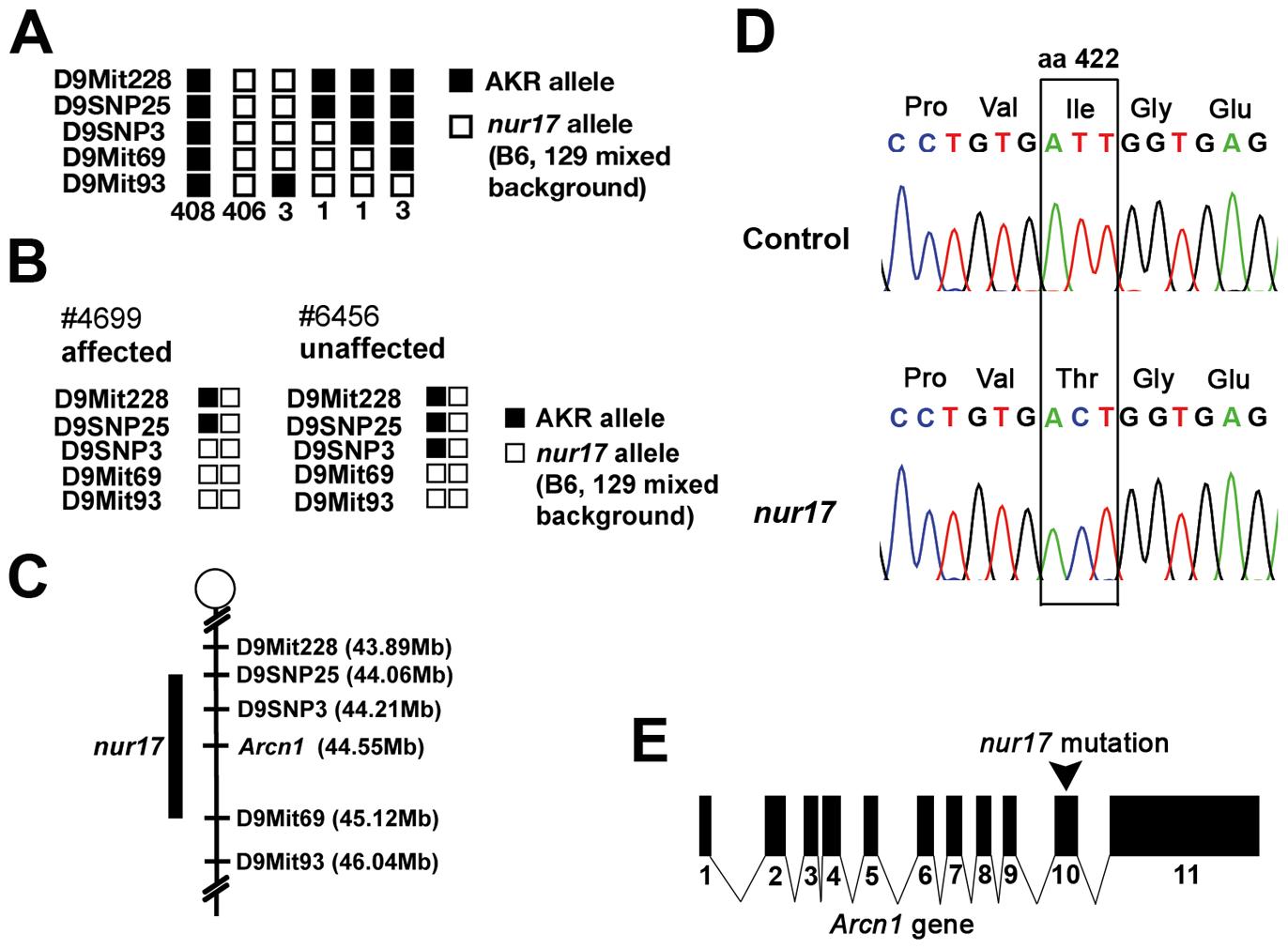 Positional cloning of the <i>nur17</i> gene.