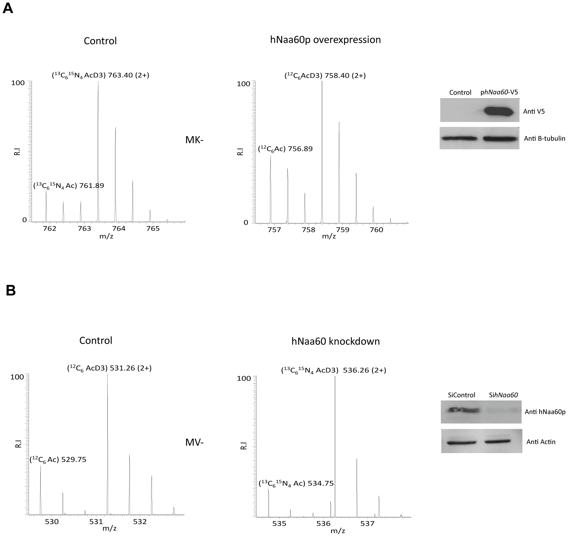 Knockdown and overexpression of hNaa60p affects N-terminal acetylation in HeLa cells.