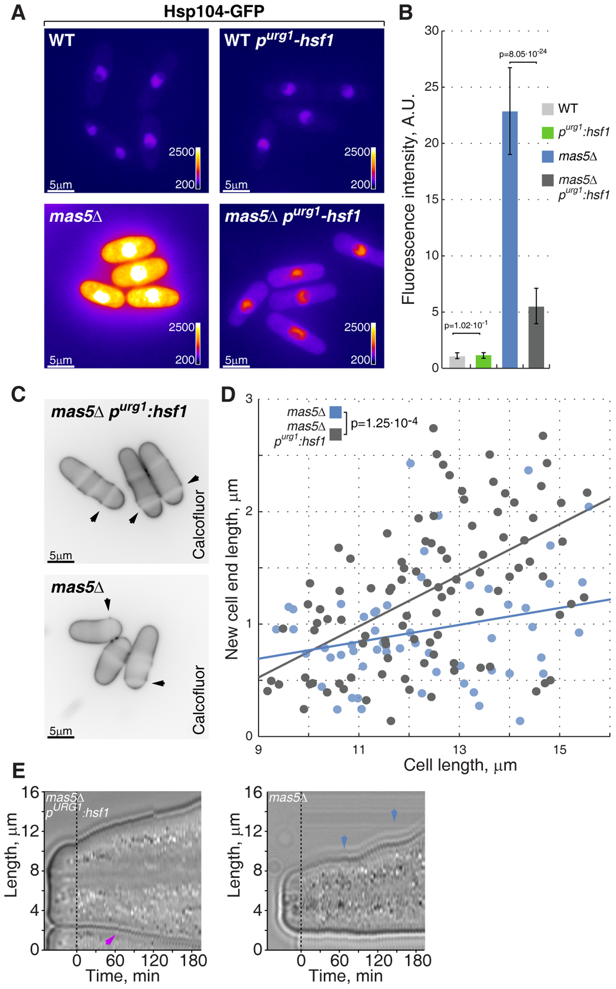 Repression of Hsf1 expression in <i>mas5Δ</i> cells rescues the growth patterning defects.