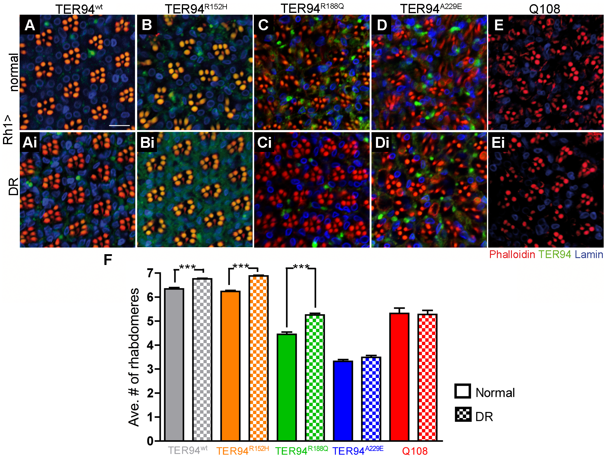 Dietary restriction (DR) alleviates neurodegeneration induced by pathogenic TER94 mutants.