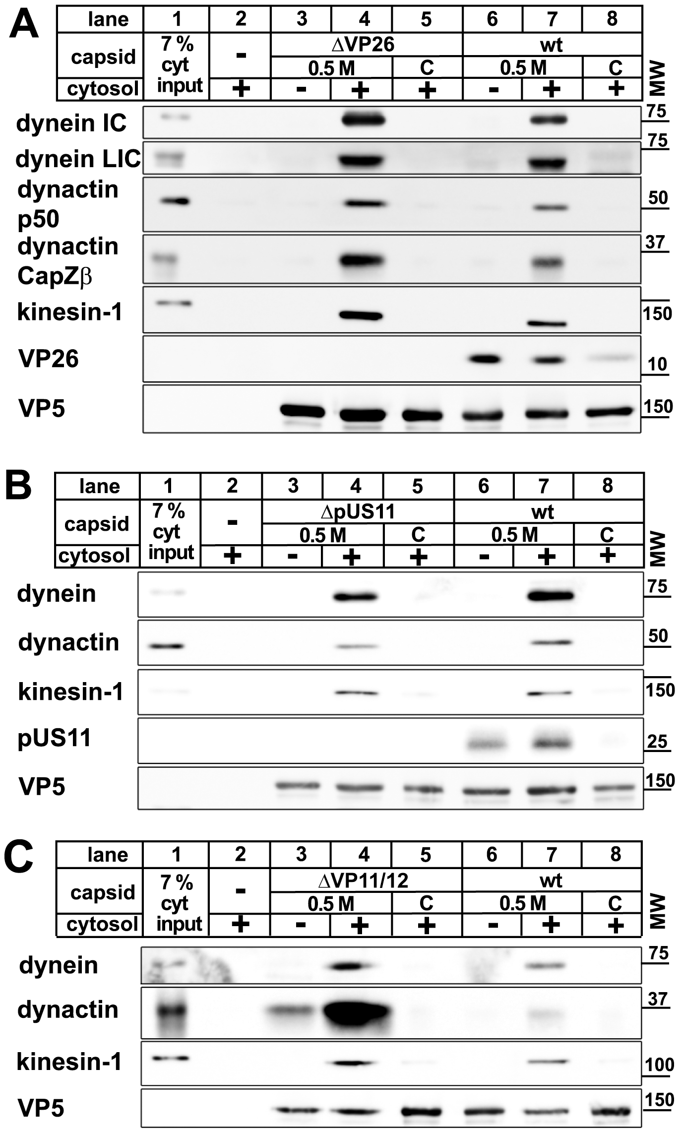 MAPs bind to HSV1 capsids lacking VP26, pUS11, or VP11/12.