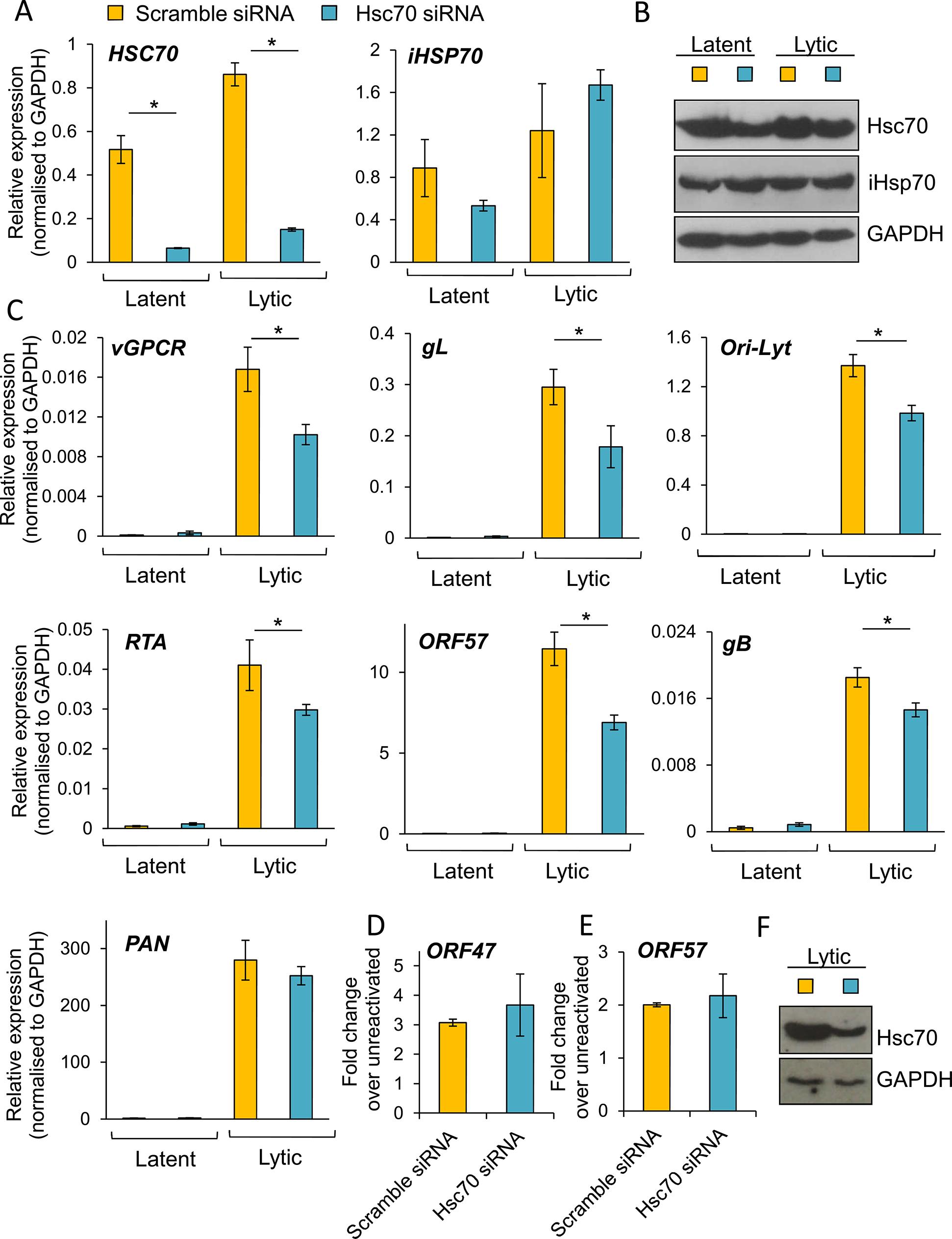 Specific depletion of Hsc70 significantly reduced KSHV lytic transcription in HEK-293T rKSHV.219 cells.