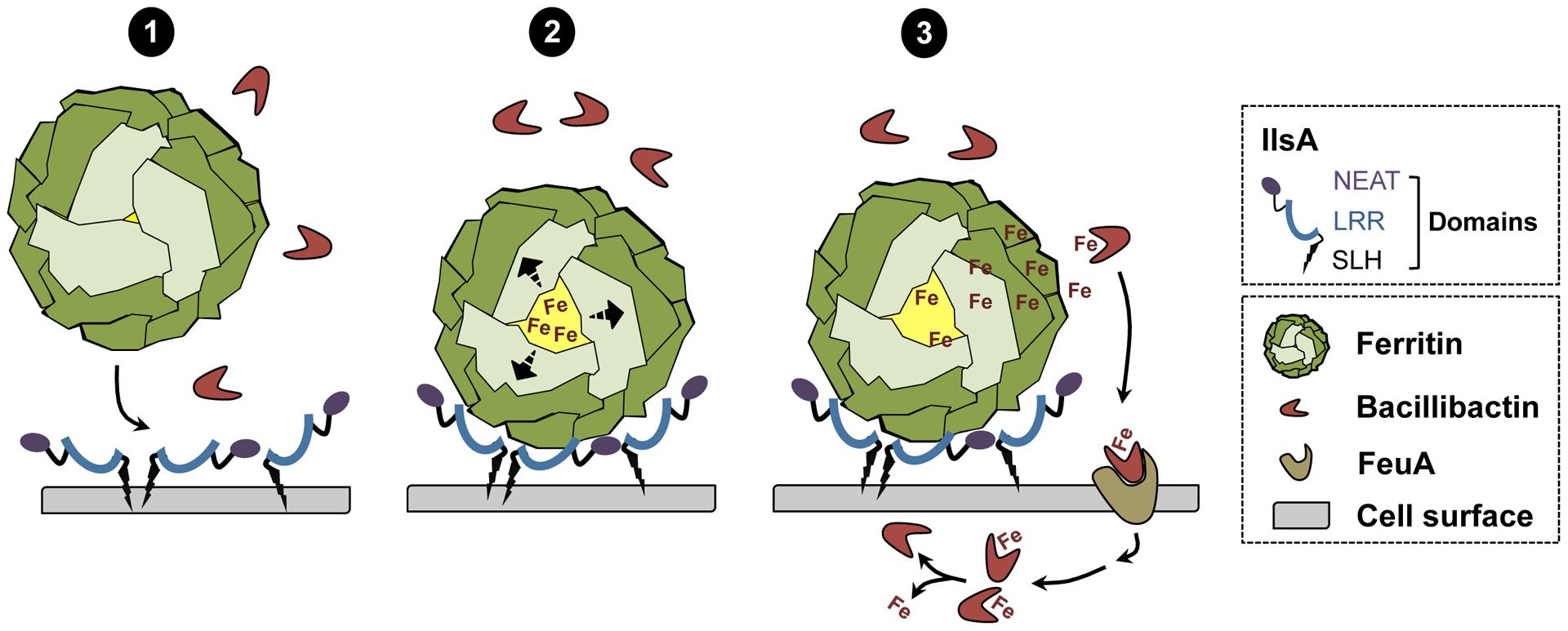 Schematic representation of iron uptake from ferritin in <i>B. cereus</i>.