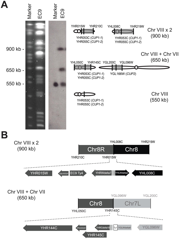 EC-C1 strains contain large-scale chromosomal rearrangements.