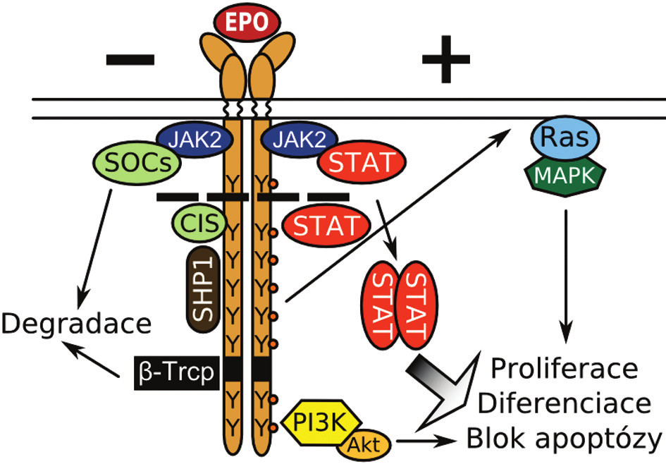 Klíčové molekuly v pozitivní (+) a negativní (-) regulaci EPOR dráhy. Y znázorňuje tyrozinové zbytky. Přerušovaná čára naznačuje zkrácení receptoru u mutací způsobujících PFCP. Bližší popis v textu.