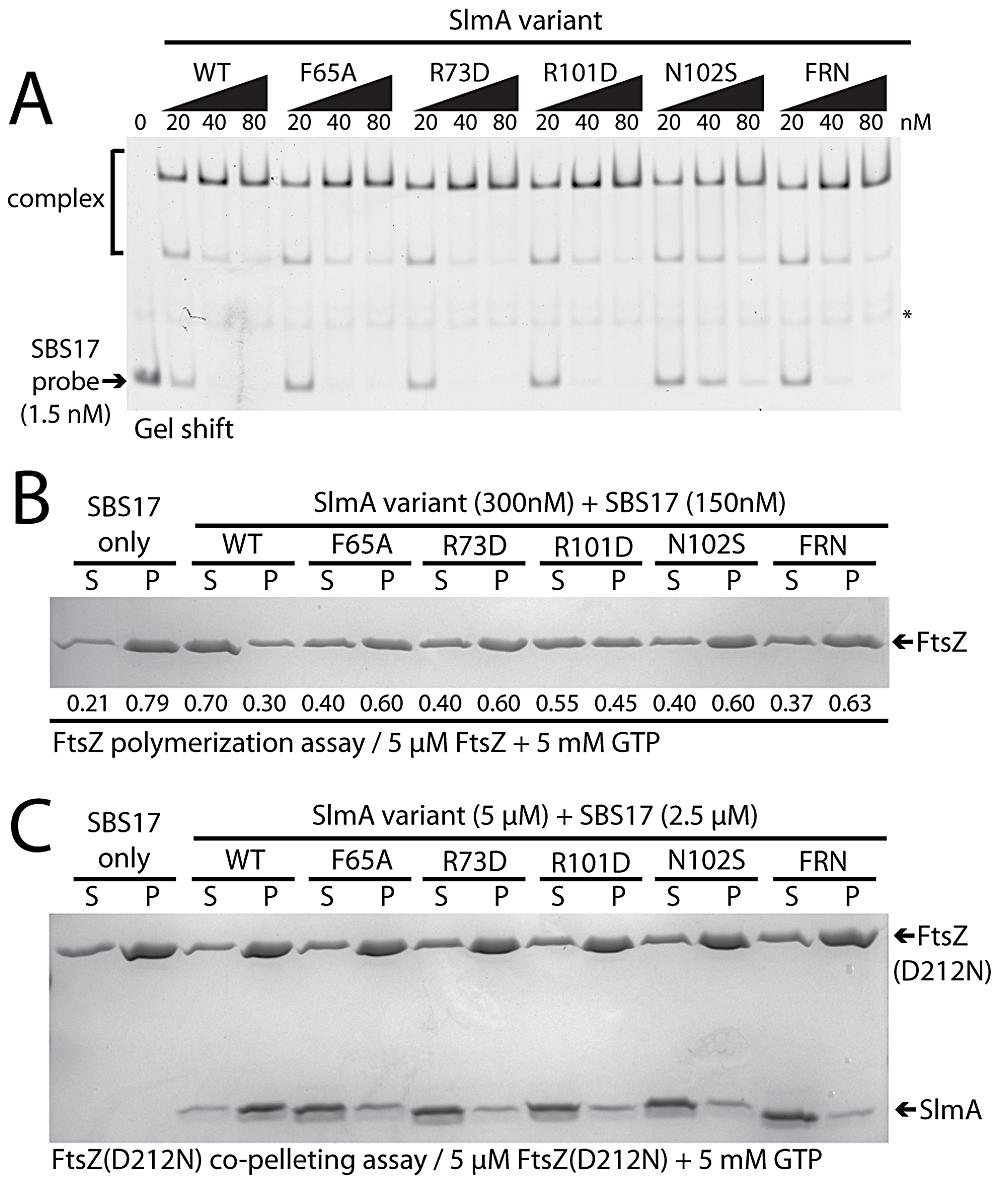 <i>In vitro</i> characterization of SlmA variants.