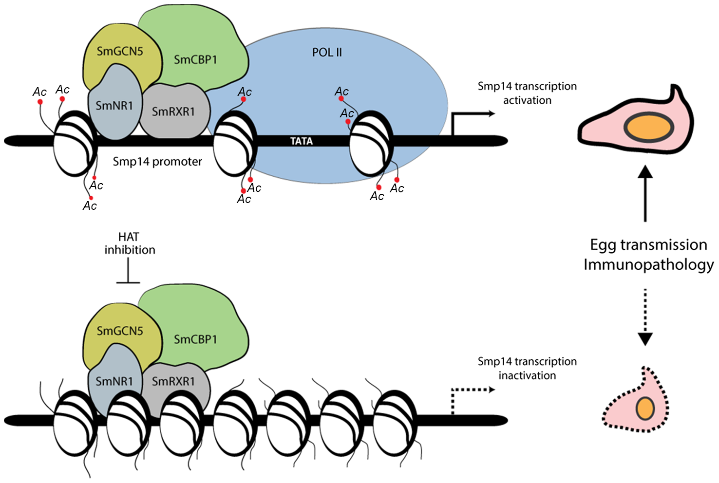 Proposed model of the acetylation-dependent activation of <i>Smp14</i> transcription and eggshell formation.