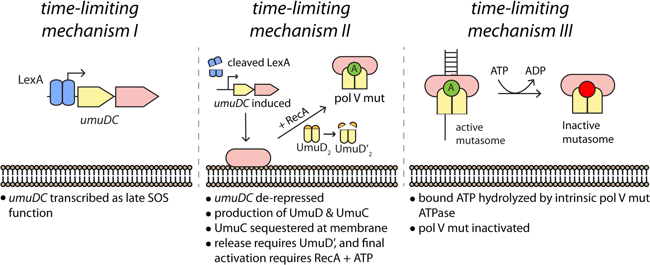 Multiple mechanisms limit pol V activity on DNA.