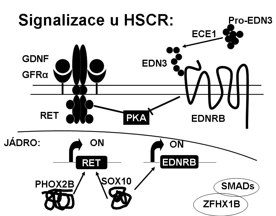 Signalizace u HSCR.