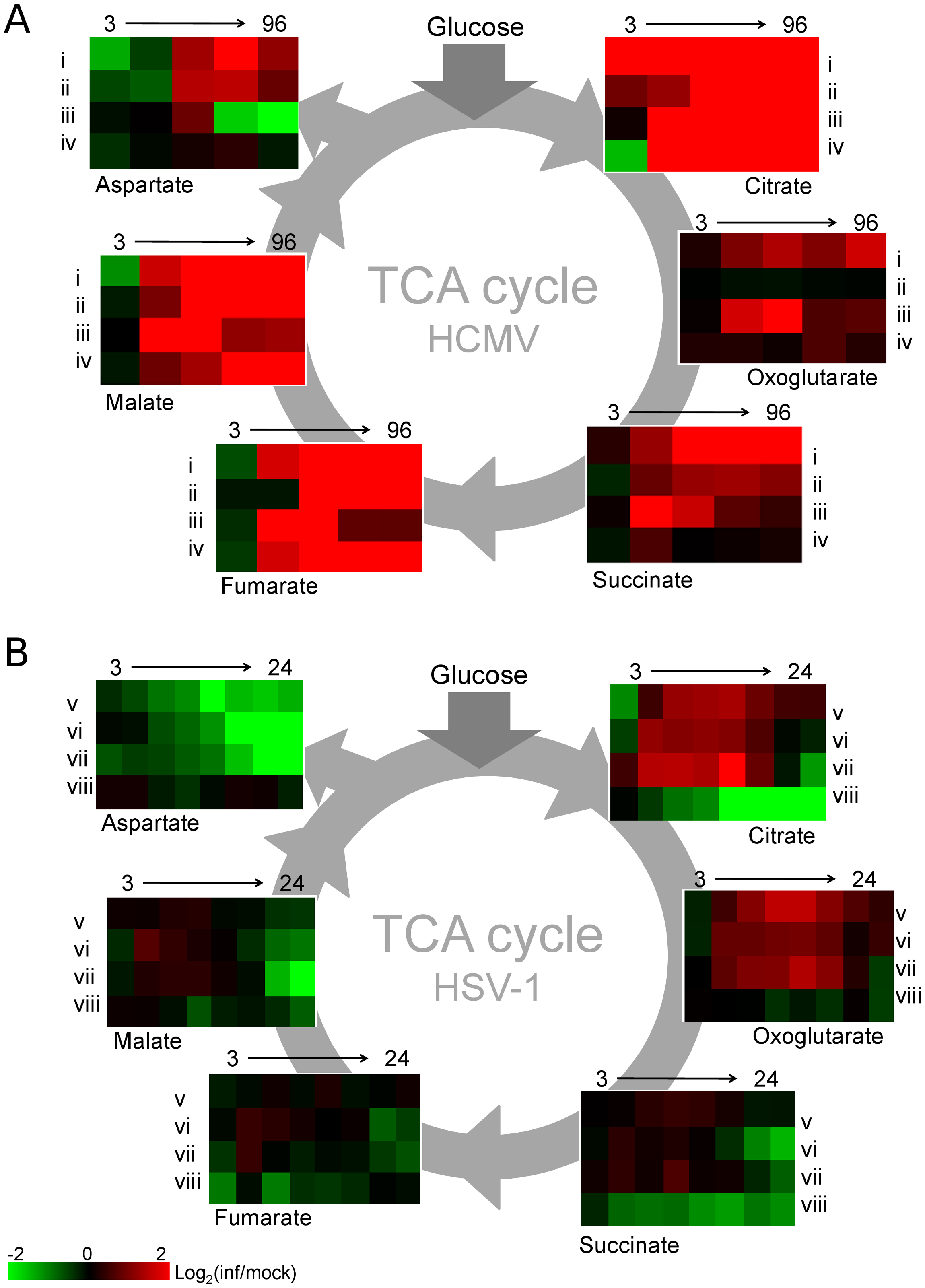 TCA cycle metabolite levels increase in HCMV and drop in HSV-1 infected cells.