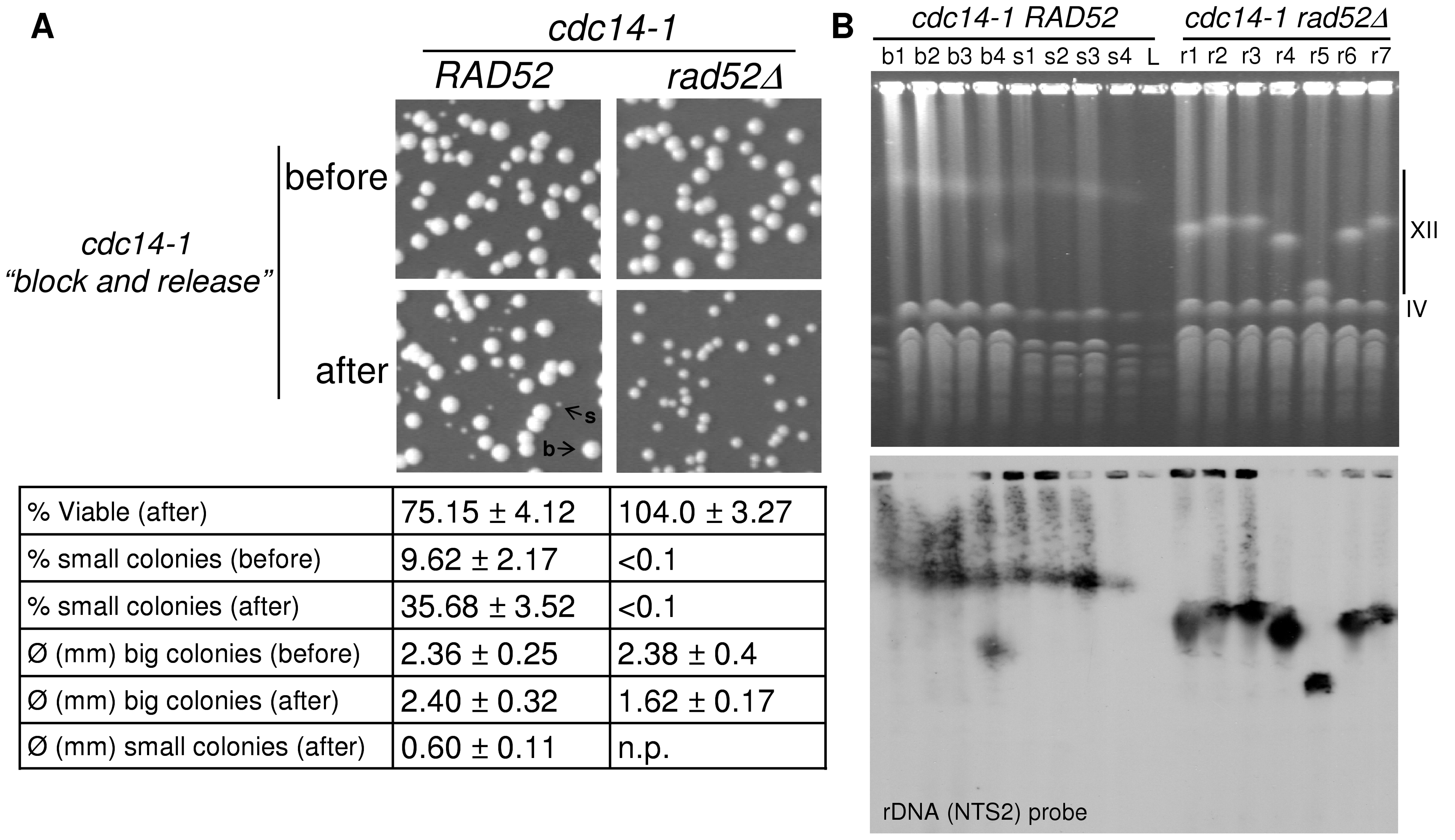 One of the two daughter cells often survives the chromosome XII missegregation event, even in the absence of Rad52.