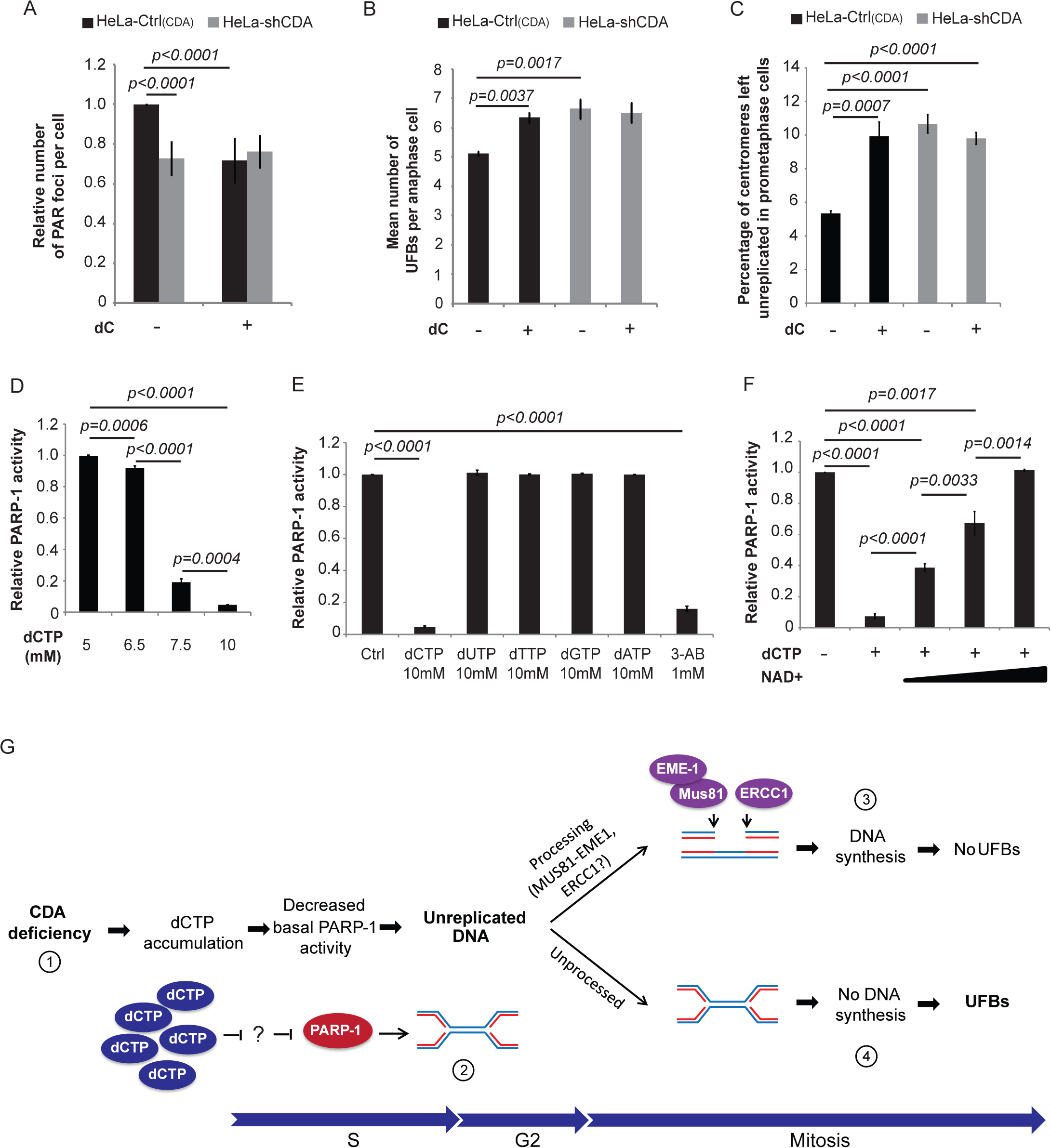 CDA deficiency leads to excess dCTP, inhibiting PARP-1 activity and leading to UFB formation.