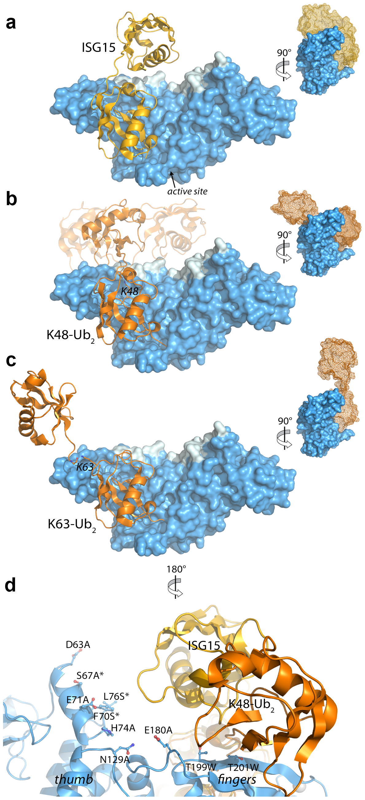 Modeling and mutational analysis suggest that PLpro binds to ISG15 and K48-Ub<sub>2</sub>, but not K63-Ub<sub>2</sub>, in a bidentate manner.