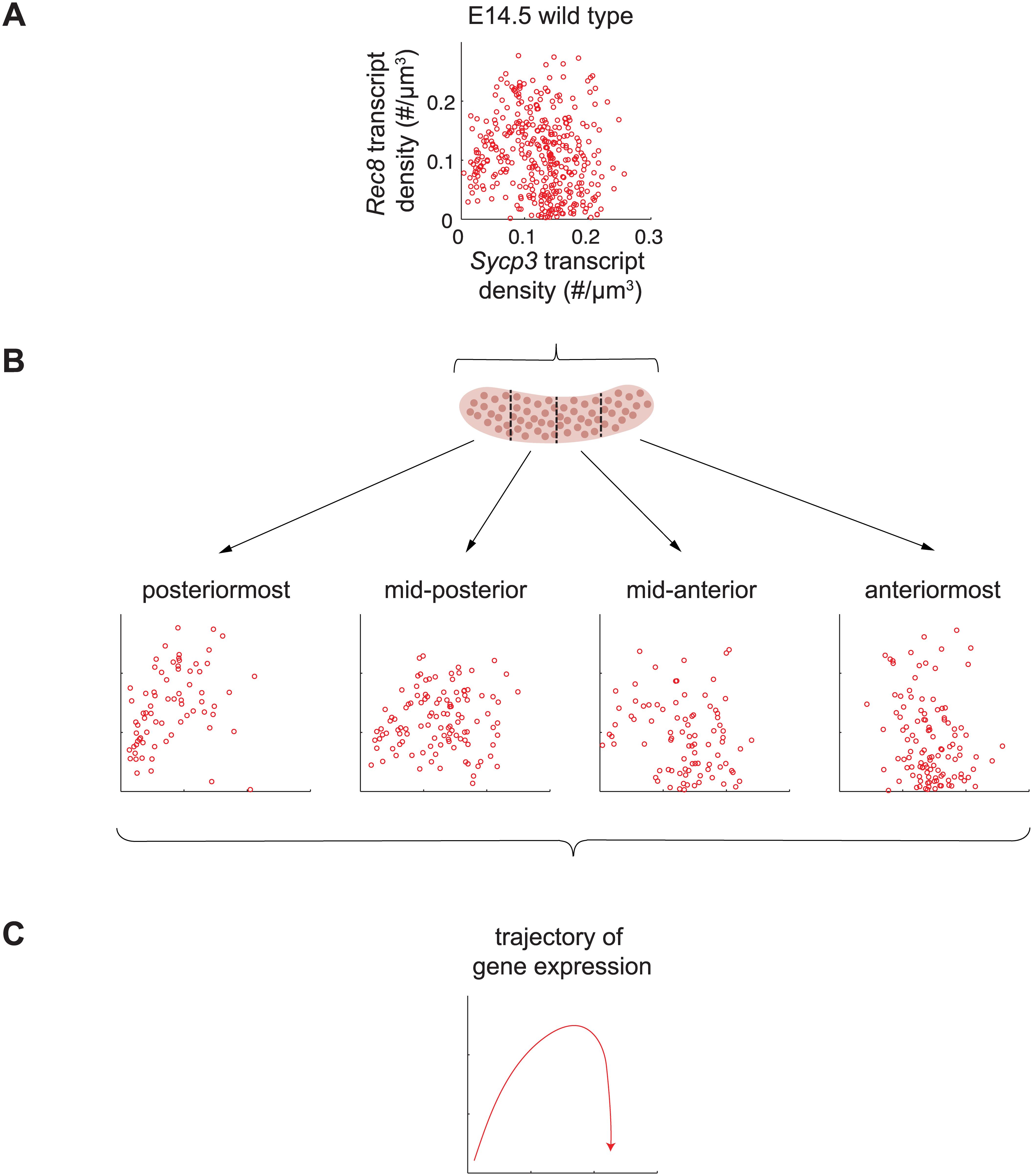 <i>Sycp3</i> induction precedes negative regulation of <i>Rec8</i> along the anterior-posterior axis of the E14.5 ovary.