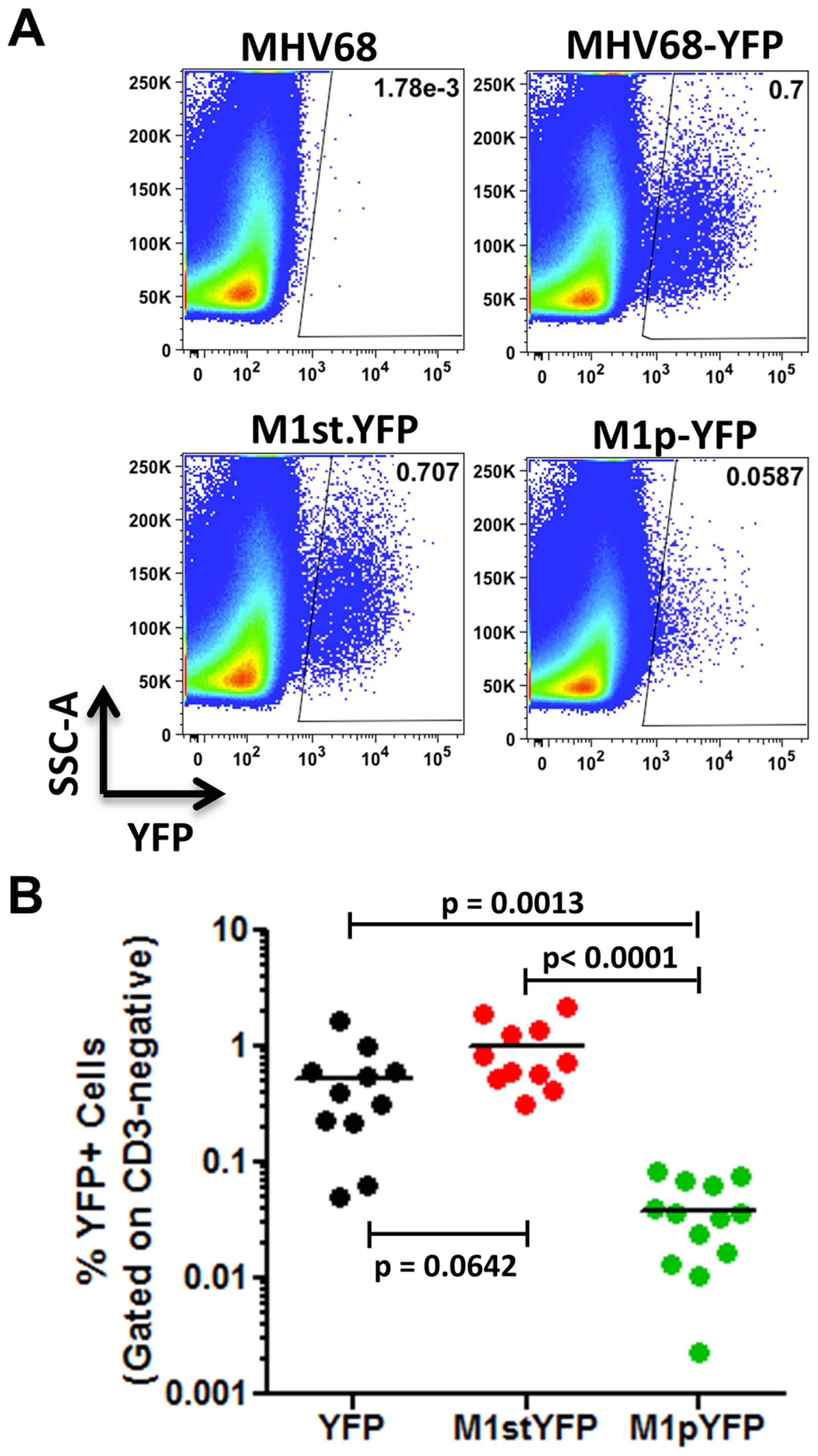 M1 promoter activity is detected in a subset of MHV68 infected splenocytes.