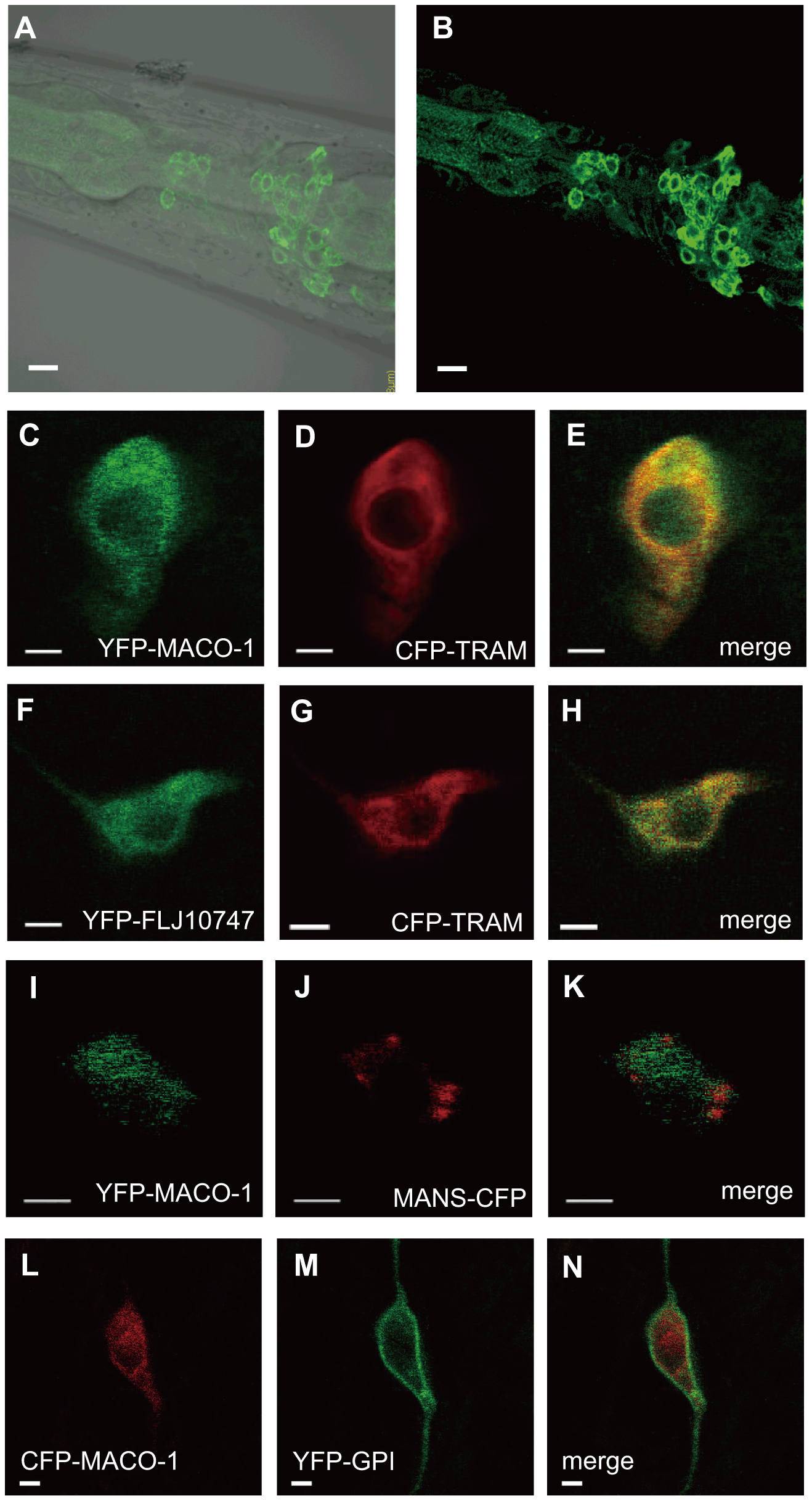 Subcellular localization of MACO-1.