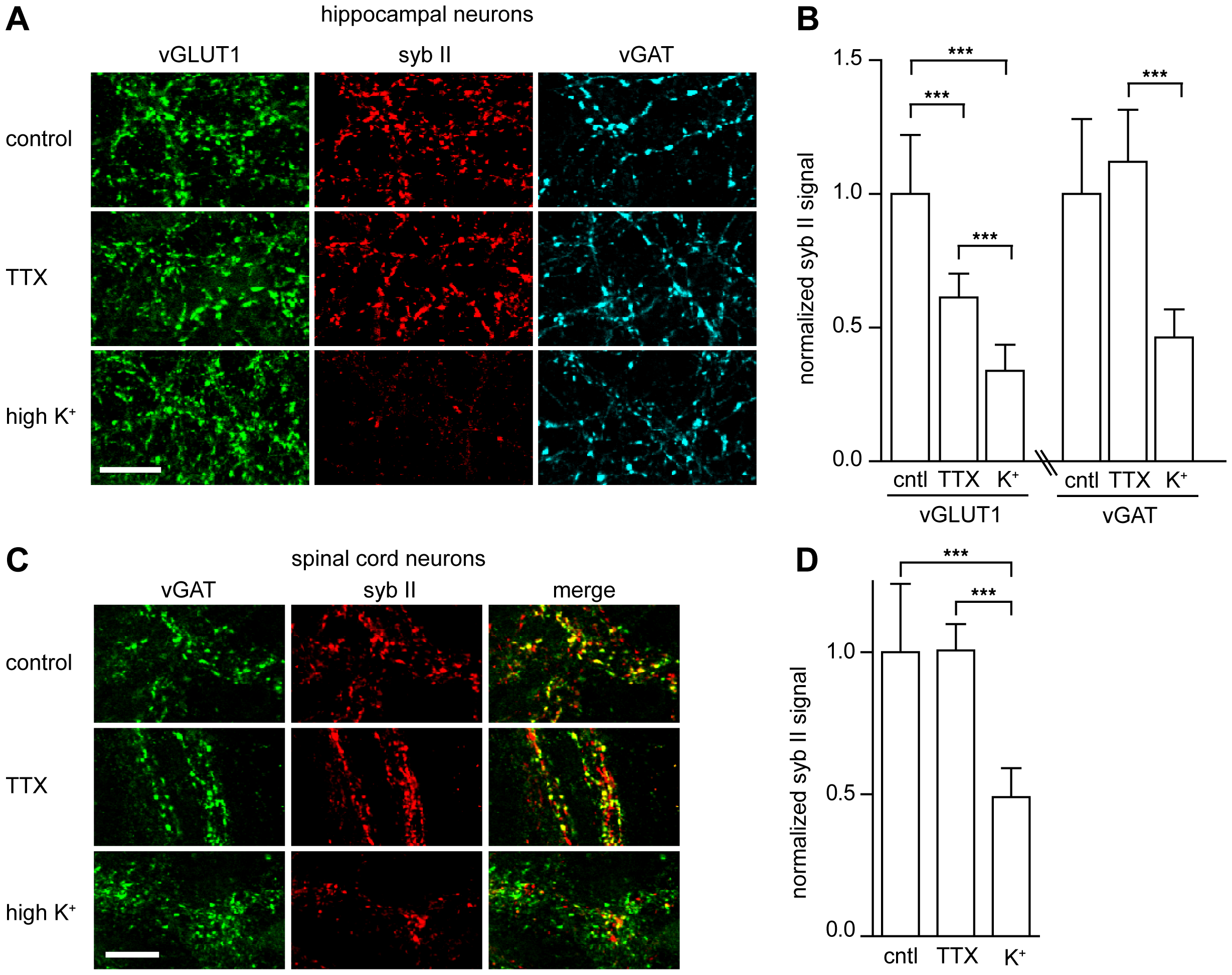 TeNT requires actively recycling synaptic vesicles to enter neurons and cleave synaptobrevin II.