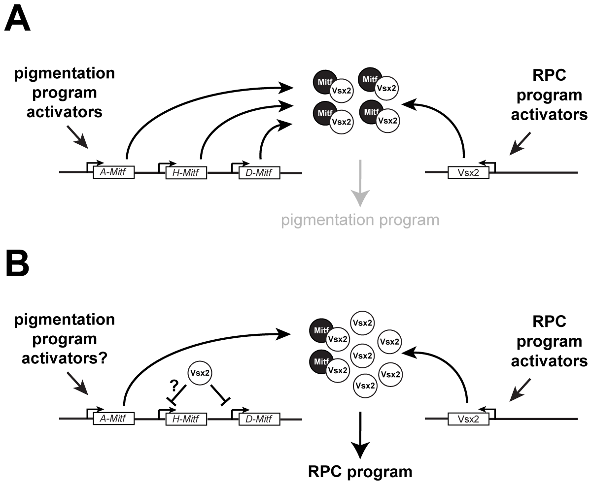 Models of Mitf regulation in RPCs during normal retinal development.