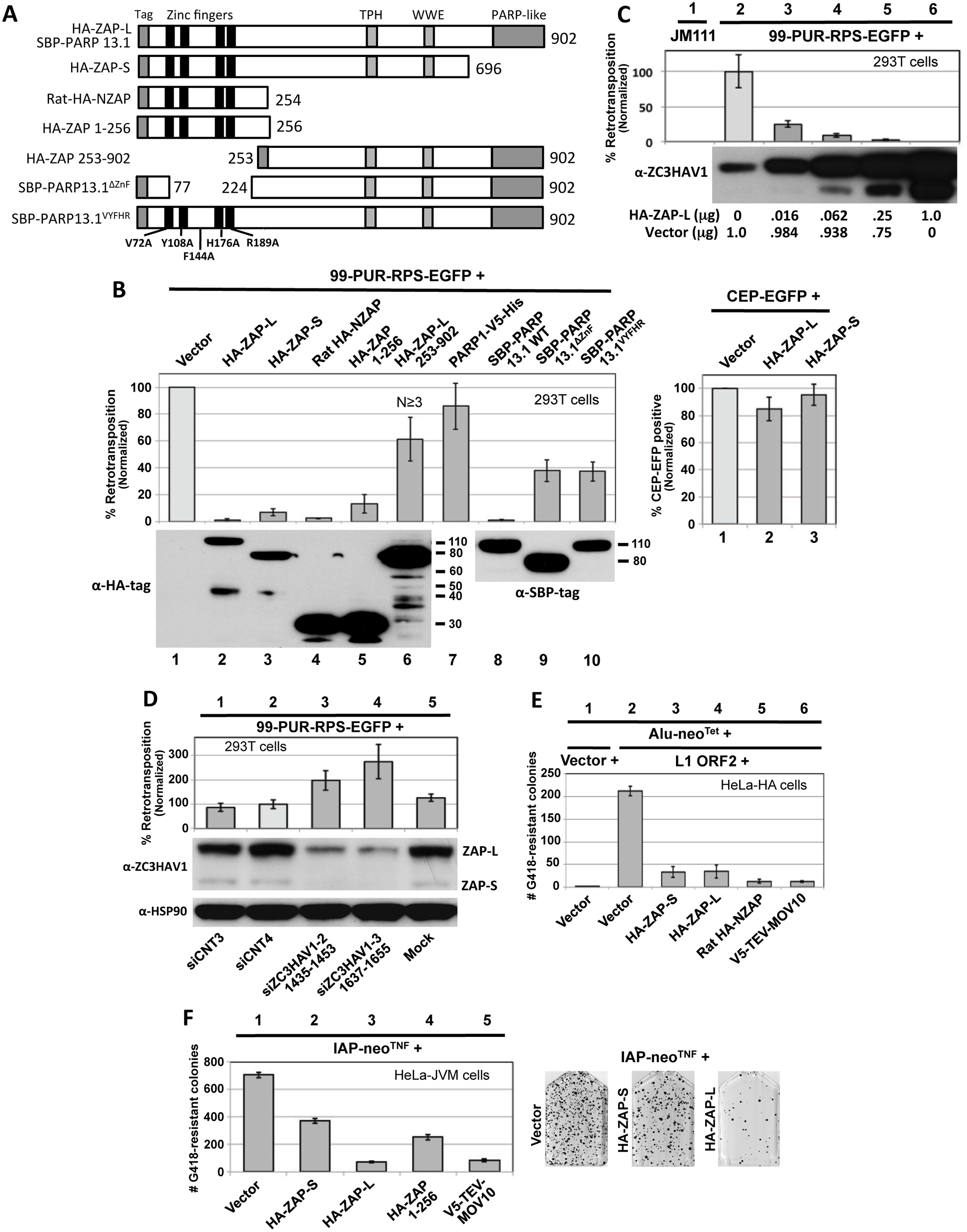 Evidence from cell culture assays that ZAP inhibits retrotransposition.