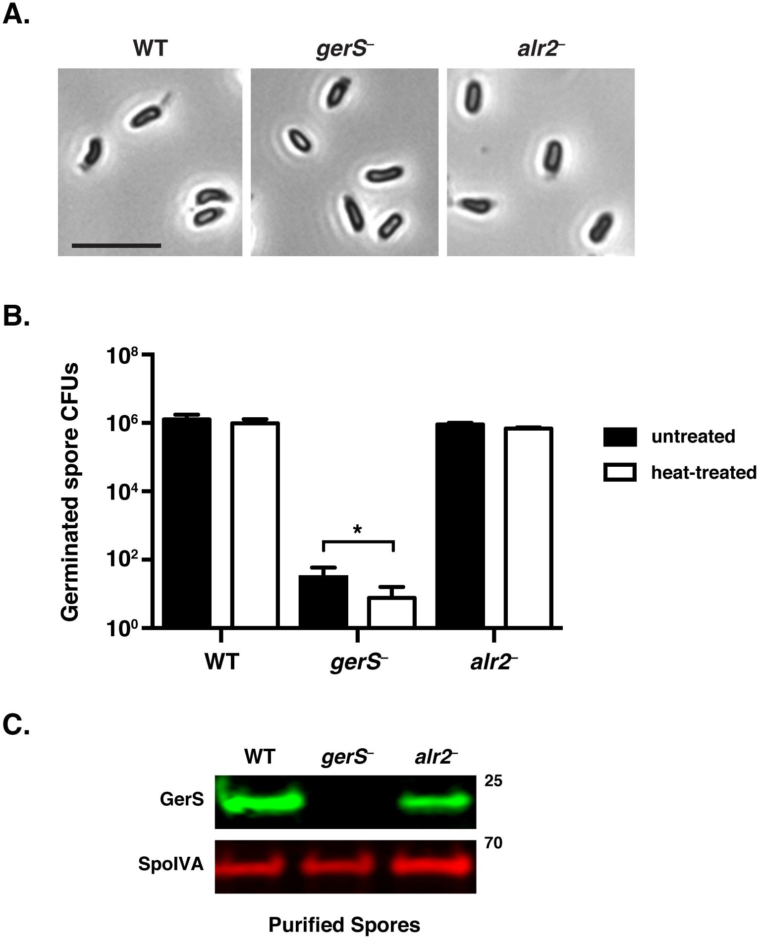 <i>C</i>. <i>difficile gerS</i><sup>−</sup> mutant spores have a severe germination defect.