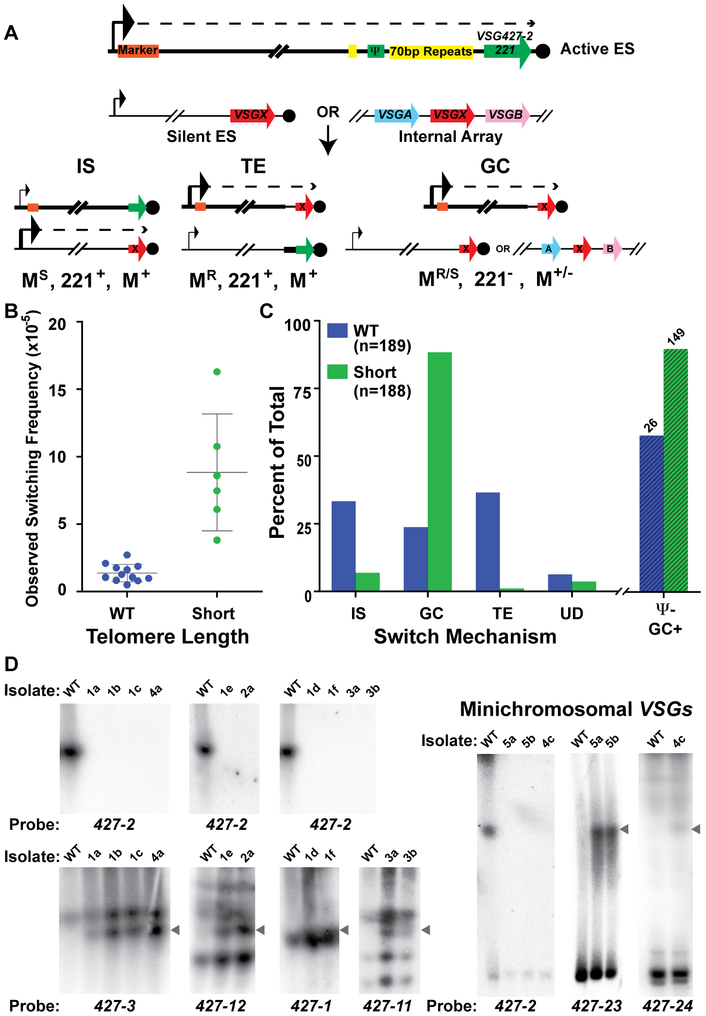 Mechanisms of <i>VSG</i> switching in WT and short-telomere isolates.