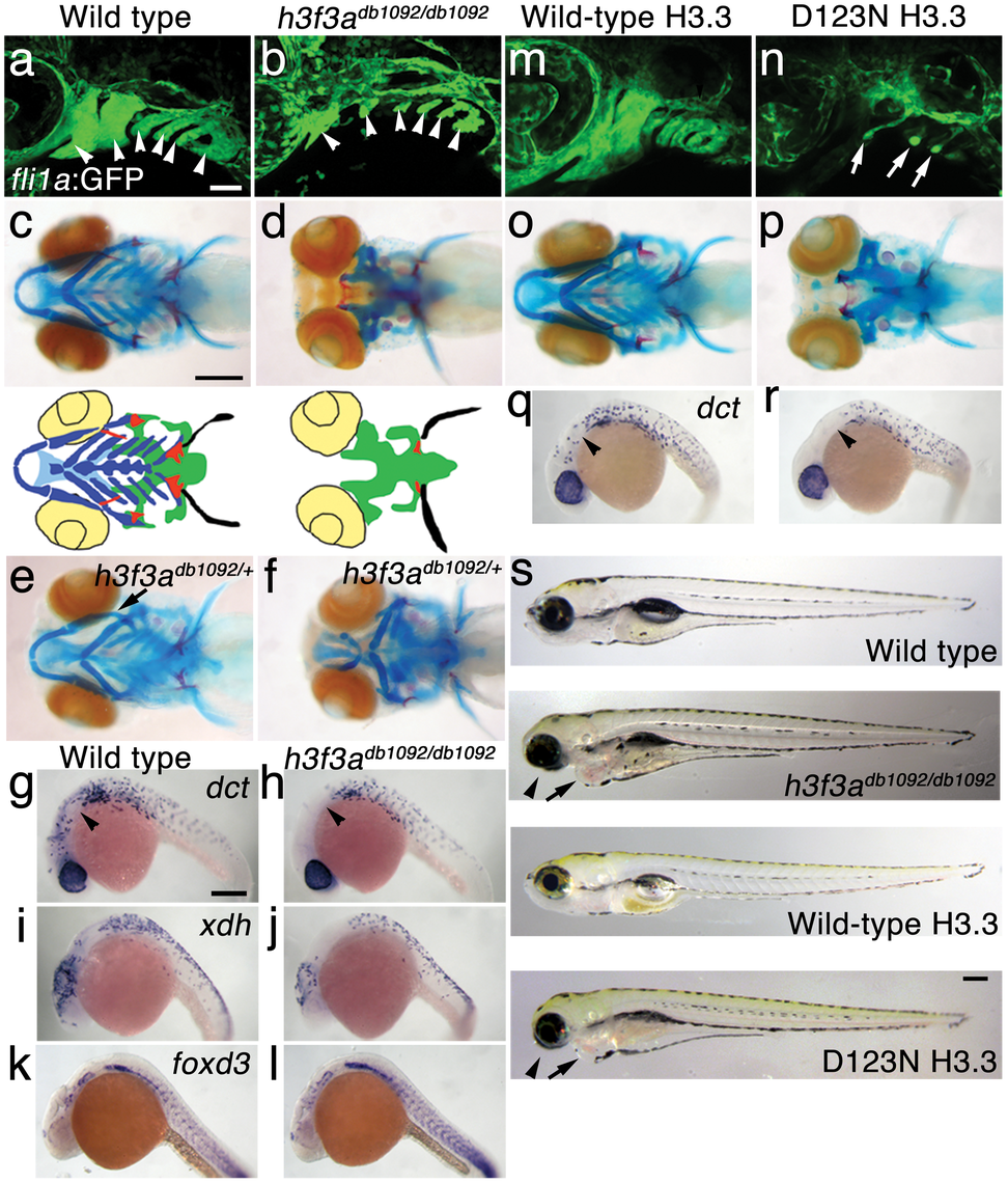 A dominant H3.3 mutation results in losses of CNC–derived head skeleton and pigment cells.