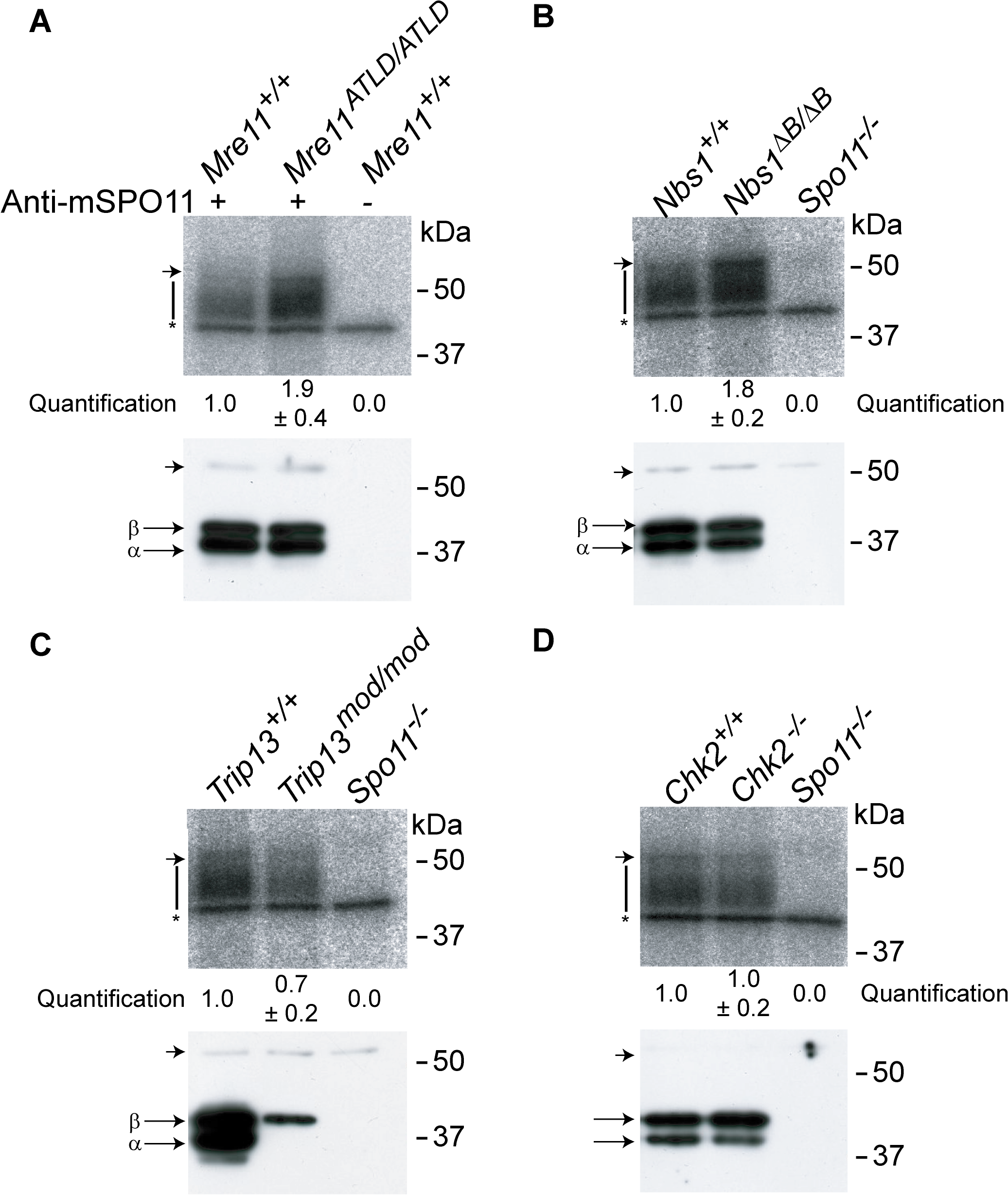 The MRE11 complex, but not TRIP13 or CHK2, modulates SPO11-oligonucleotide complex levels.