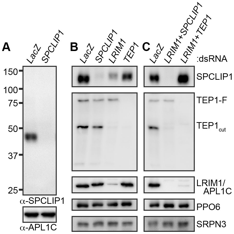 SPCLIP1 is a component of the mosquito complement cascade.