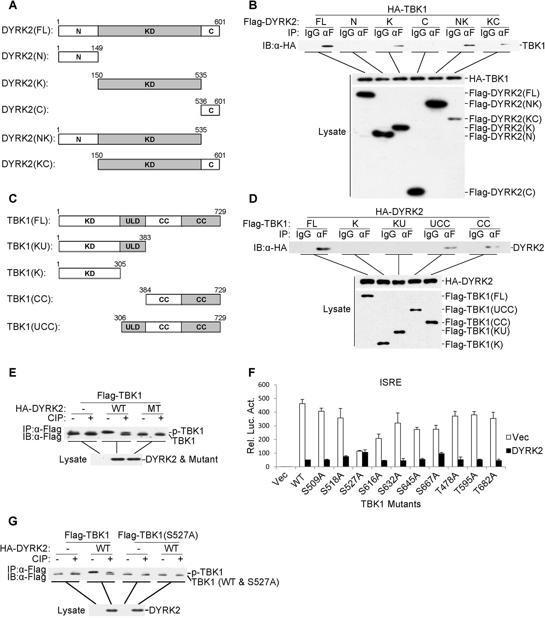 DYRK2 phosphorylated TBK1 at S527.
