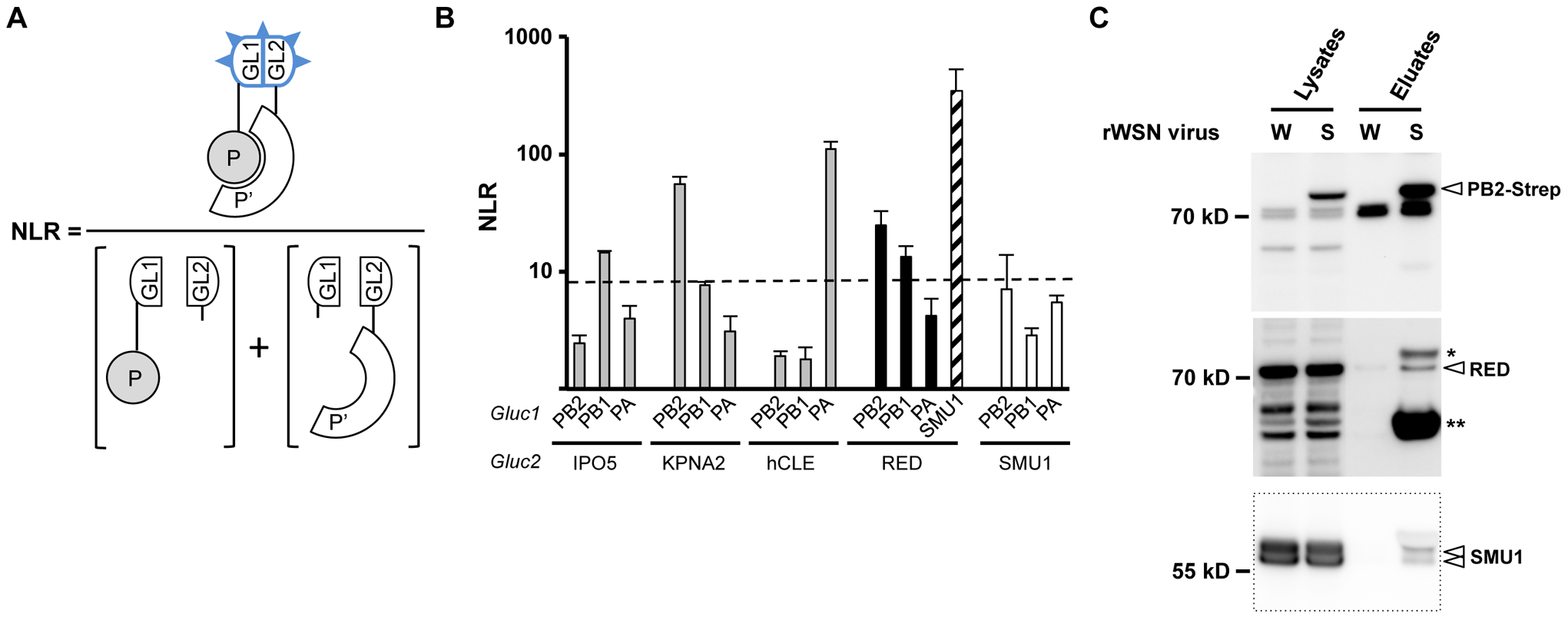 Interaction of RED with influenza virus polymerase in human cells.
