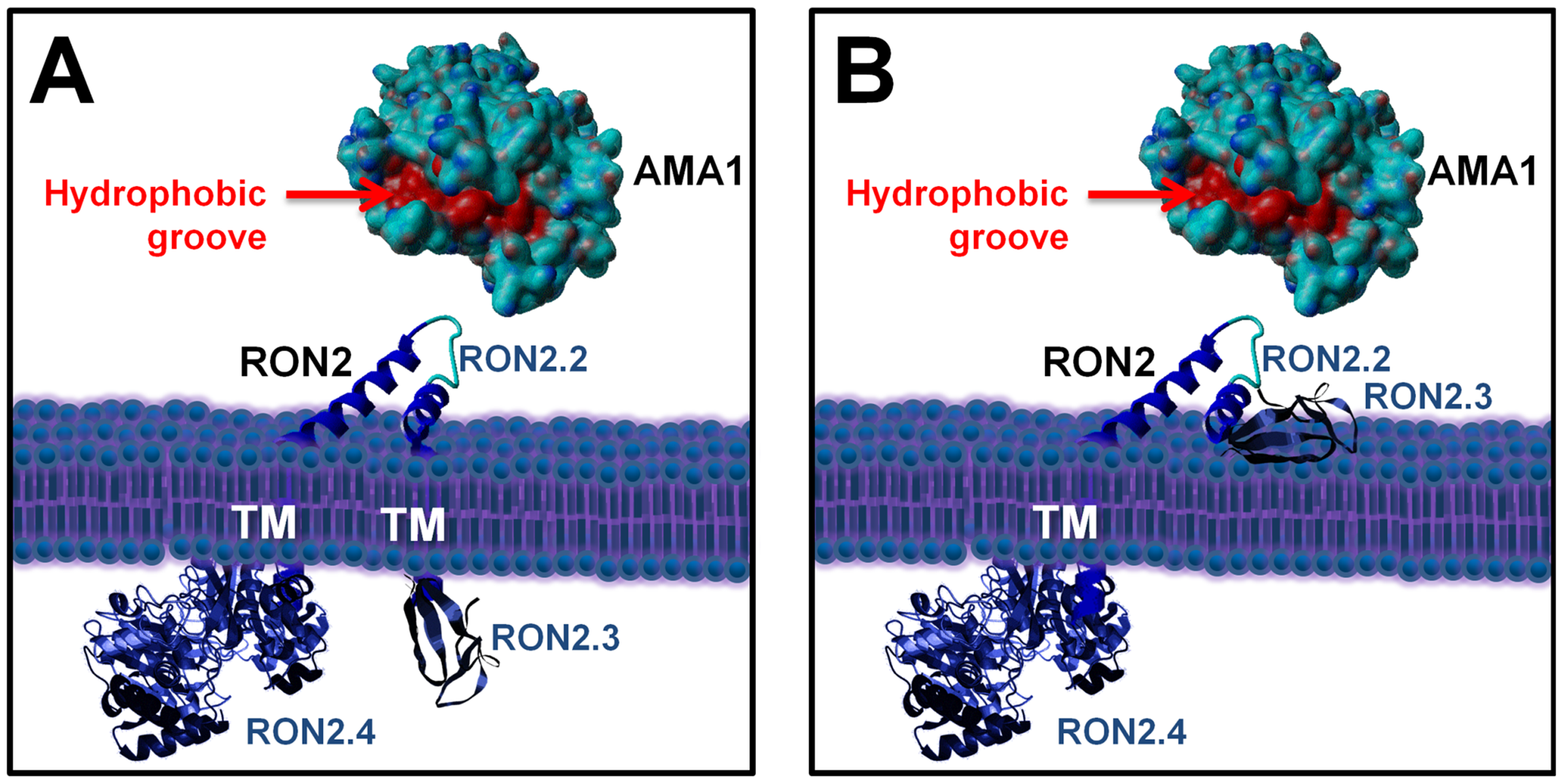 Current alternative models of the RON2-AMA1 interaction at the MJ.