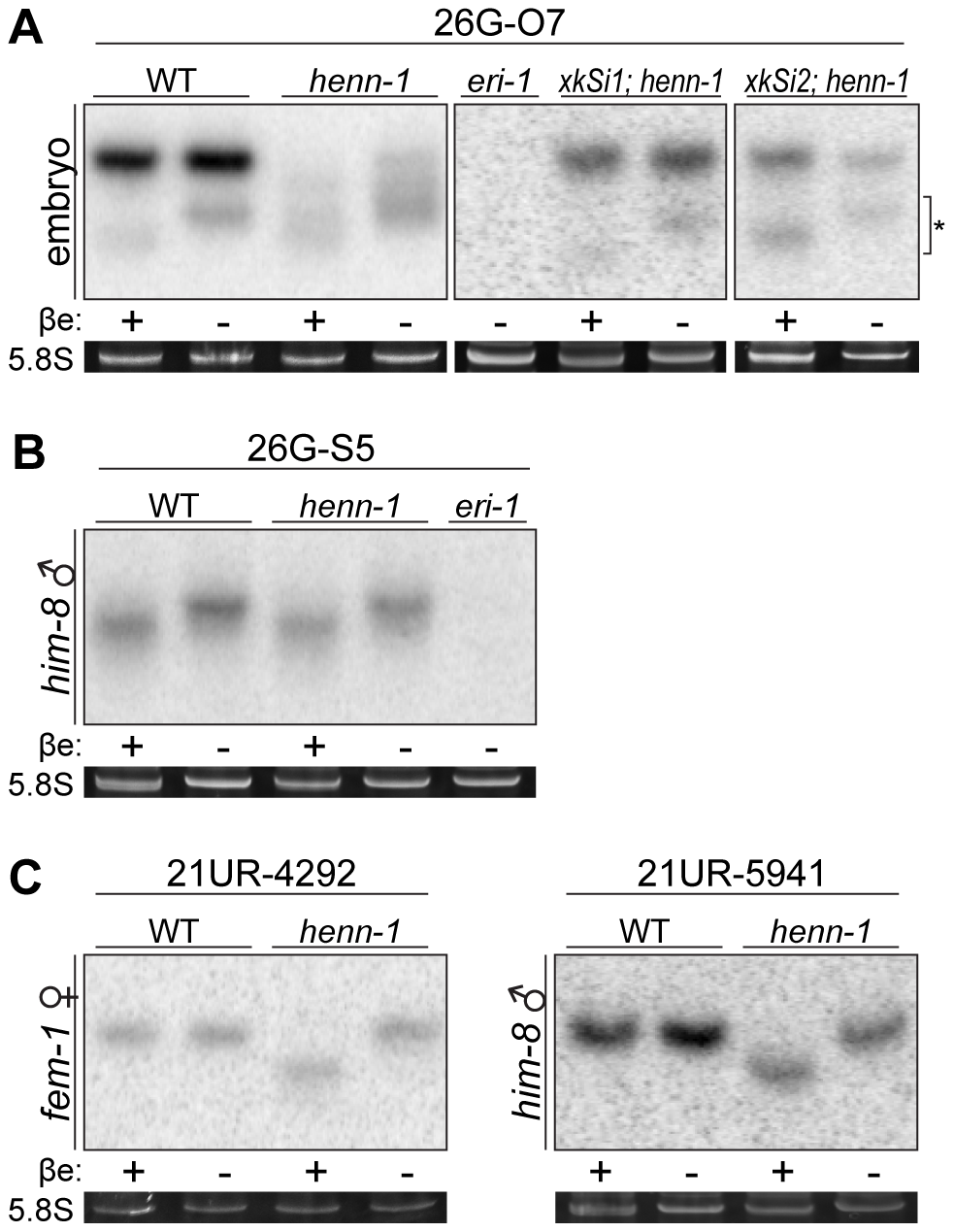 HENN-1 Selectively Methylates ERGO-1 Class 26G RNAs in an ERGO-1–Dependent Manner.