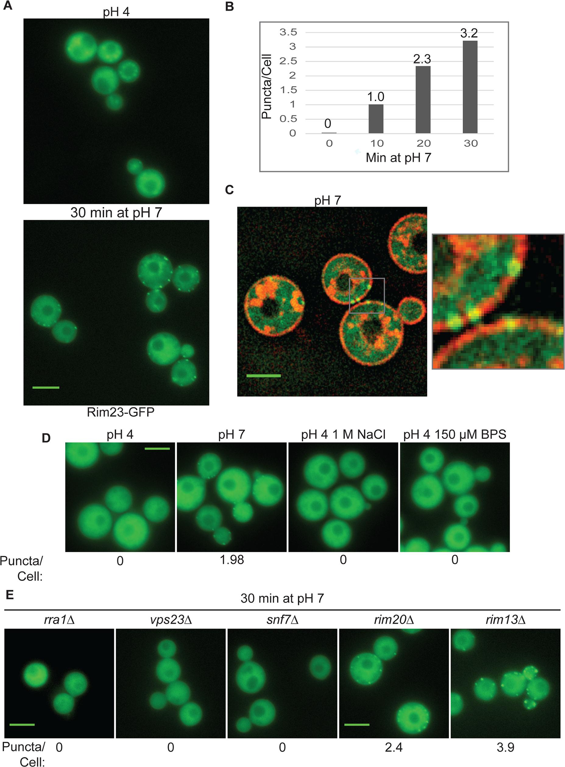 Rim23-GFP forms plasma membrane-associated puncta under neutral/alkaline pH conditions.
