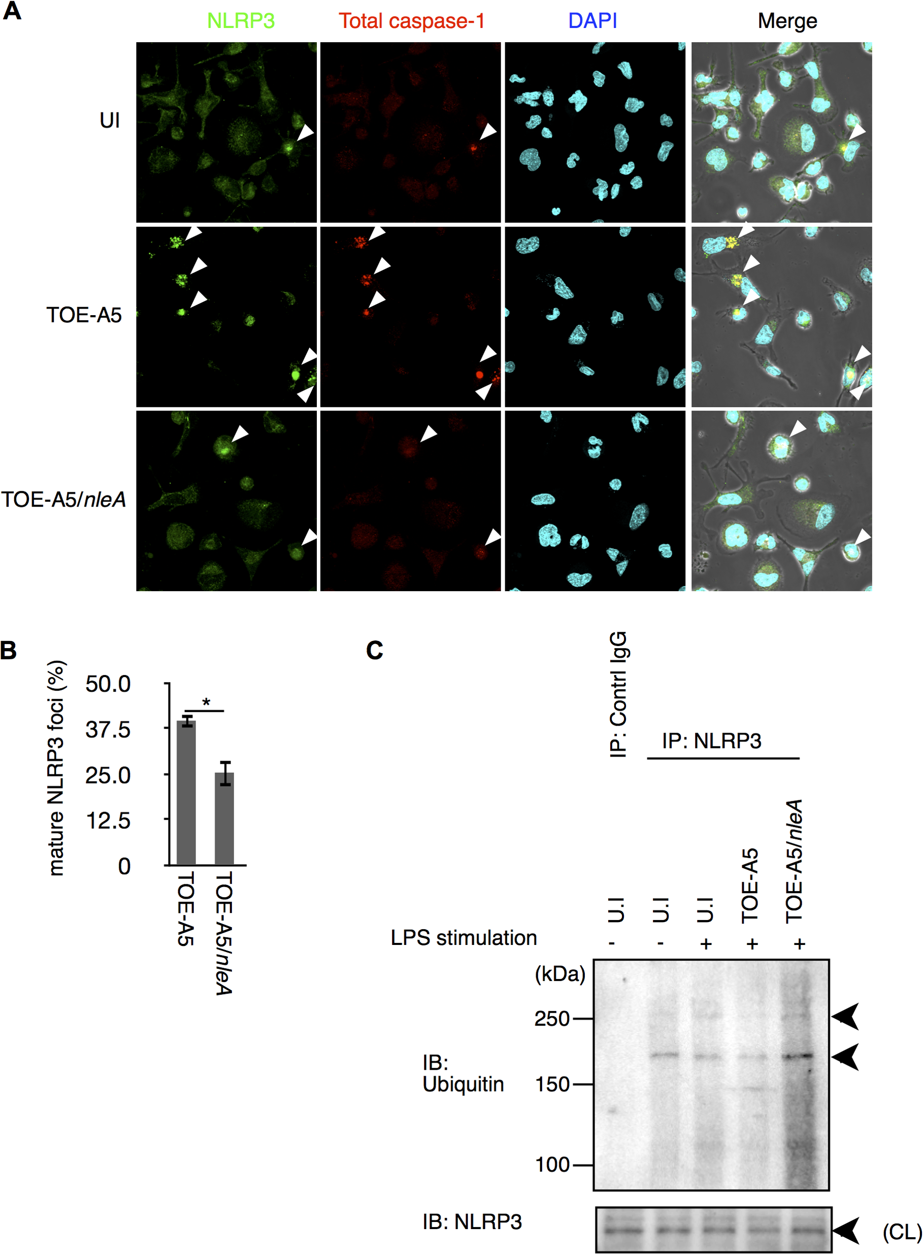 NleA reduces formation of mature NLRP3 inflammasomes.