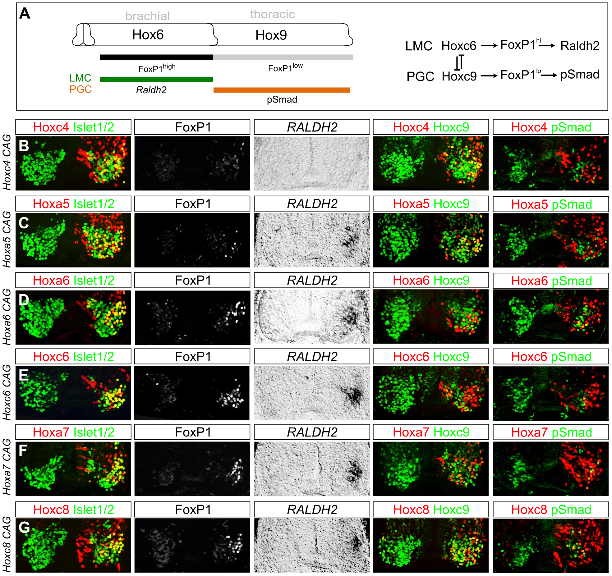 Multiple <i>Hox</i> proteins can program LMC identity at thoracic levels.
