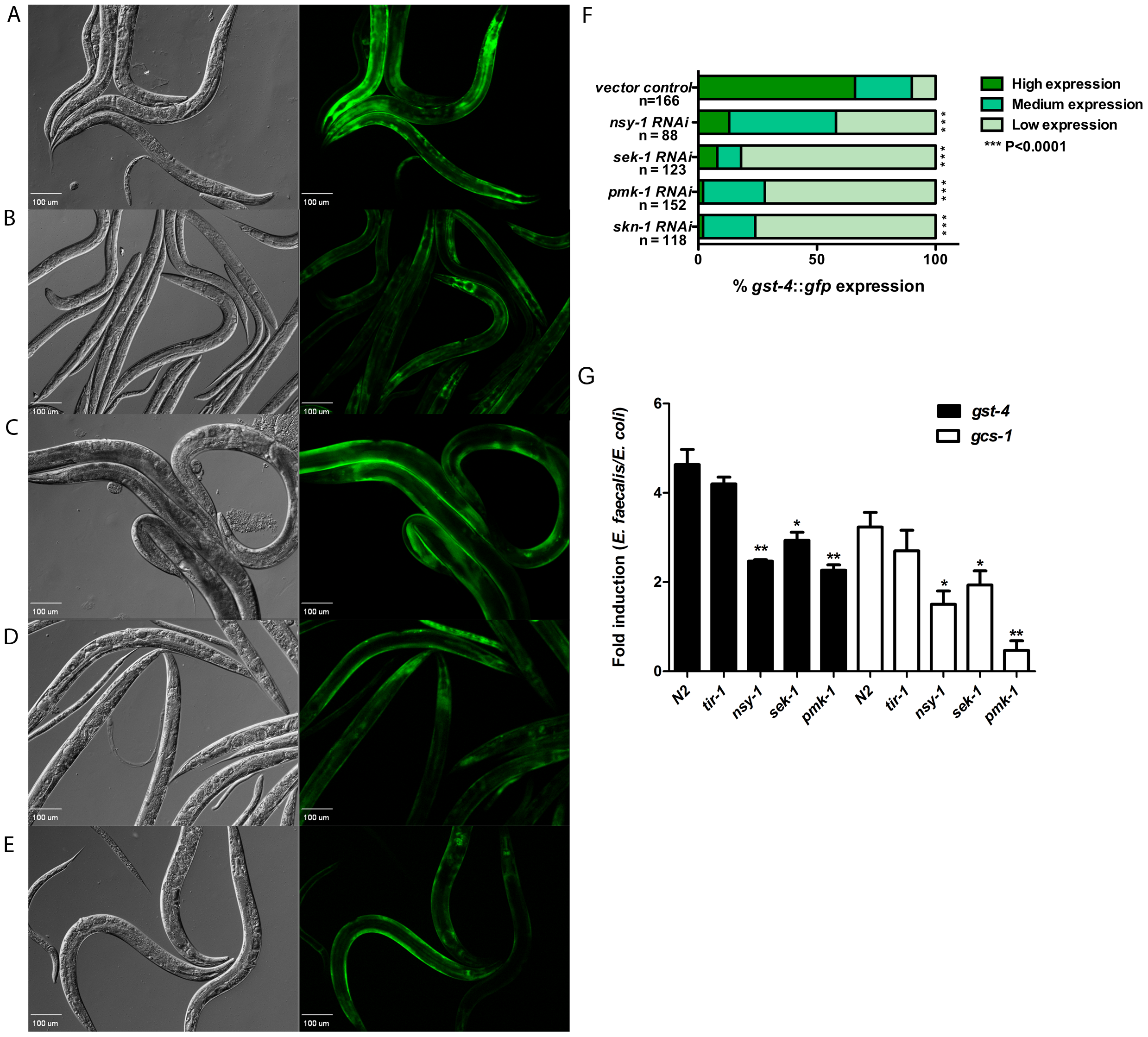 Activation of SKN-1 in response to pathogens is dependent on the p38-MAPK pathway.