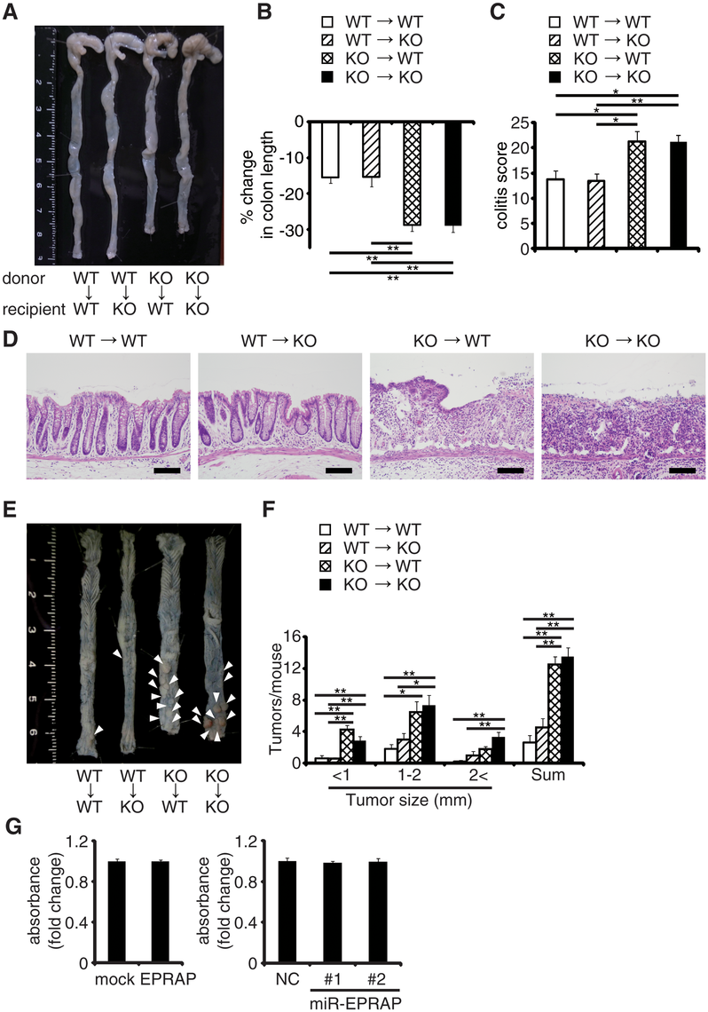 EPRAP in bone marrow–derived cells attenuates colitis and colitis-induced tumorigenesis.