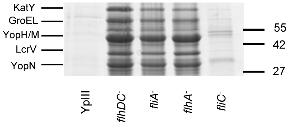 SDS-PAGE protein profiles of cell free supernatants prepared from <i>Y. pseudotuberculosis</i> YpIII parent, <i>flhDC</i>, <i>fliA</i>, <i>flhA</i> and <i>fliC</i> mutants grown at 30°C.