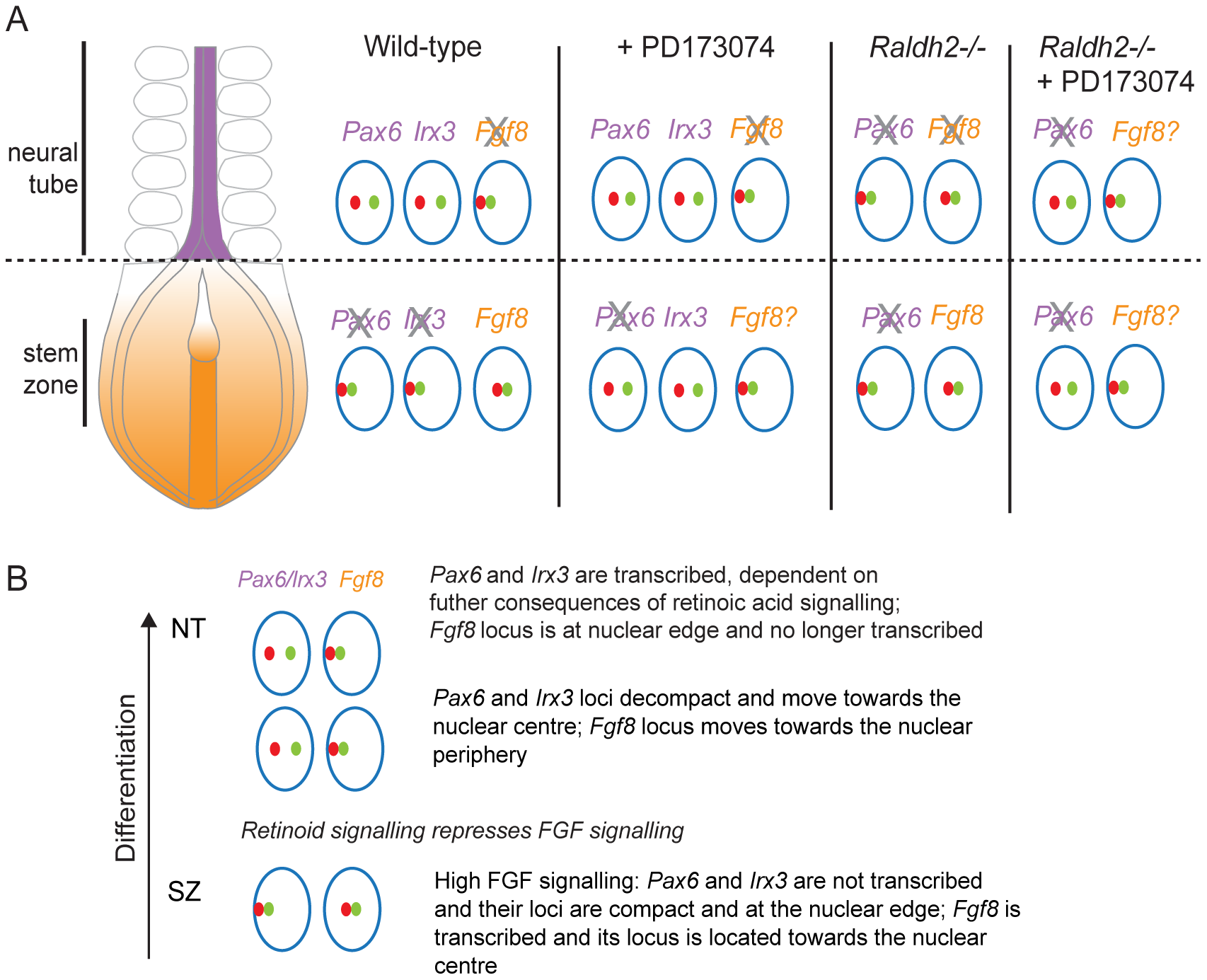 Changes in chromatin compaction and nuclear position of <i>Pax6</i> and <i>Fgf8</i> loci during neural differentiation and following manipulation of retinoid and/or FGF signalling.