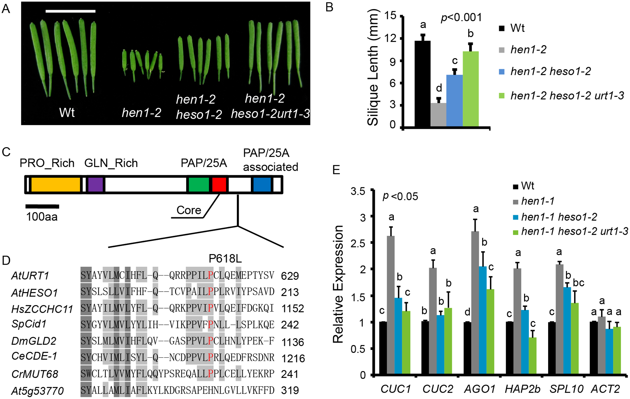 <i>urt1-3</i> increases the silique length in <i>hen1-2 heso1-2</i> and enhances miRNA function in <i>hen1-1 heso1-2</i>.