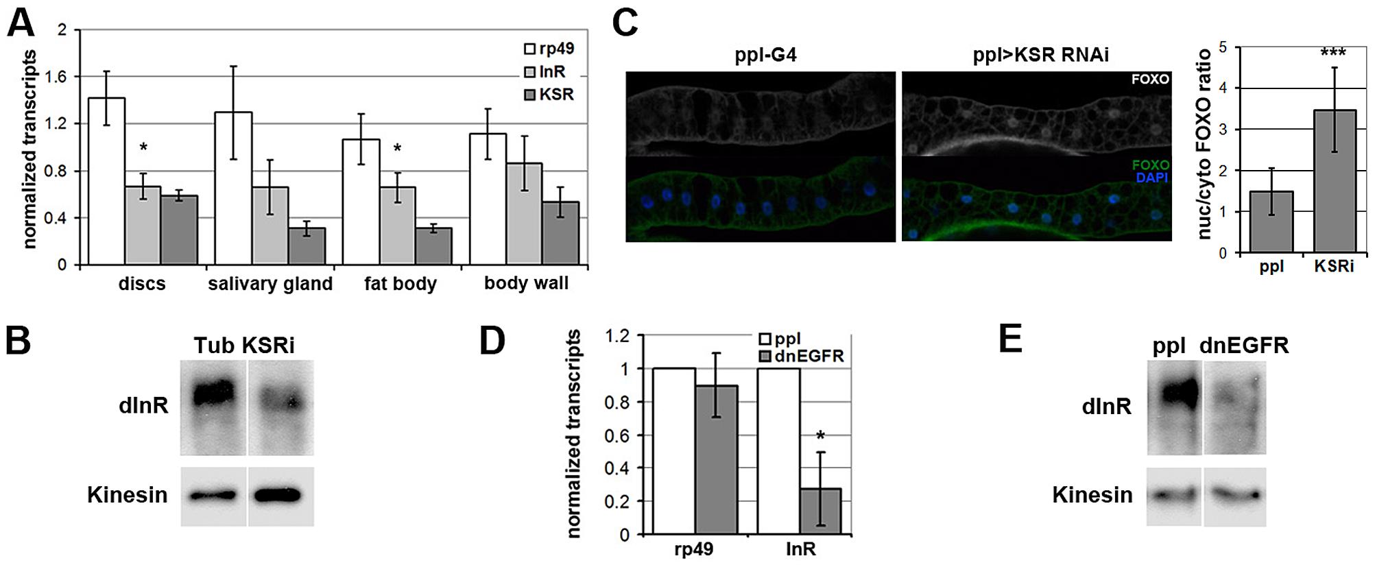 EGFR-MAPK/ERK signaling regulates InR expression and FOXO localization <i>in vivo</i>.