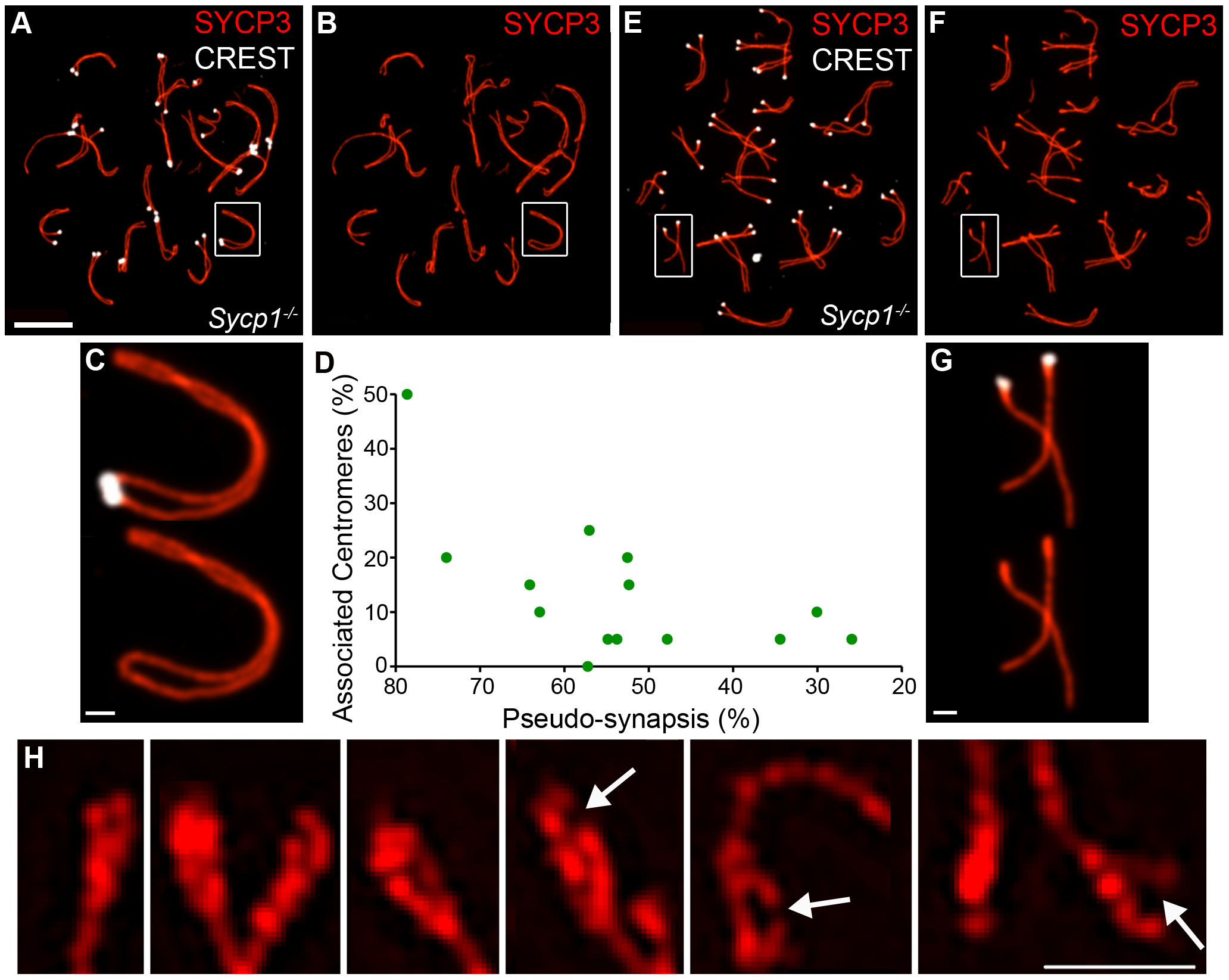 Centromere association and morphology of centromere regions in the absence of synapsis.