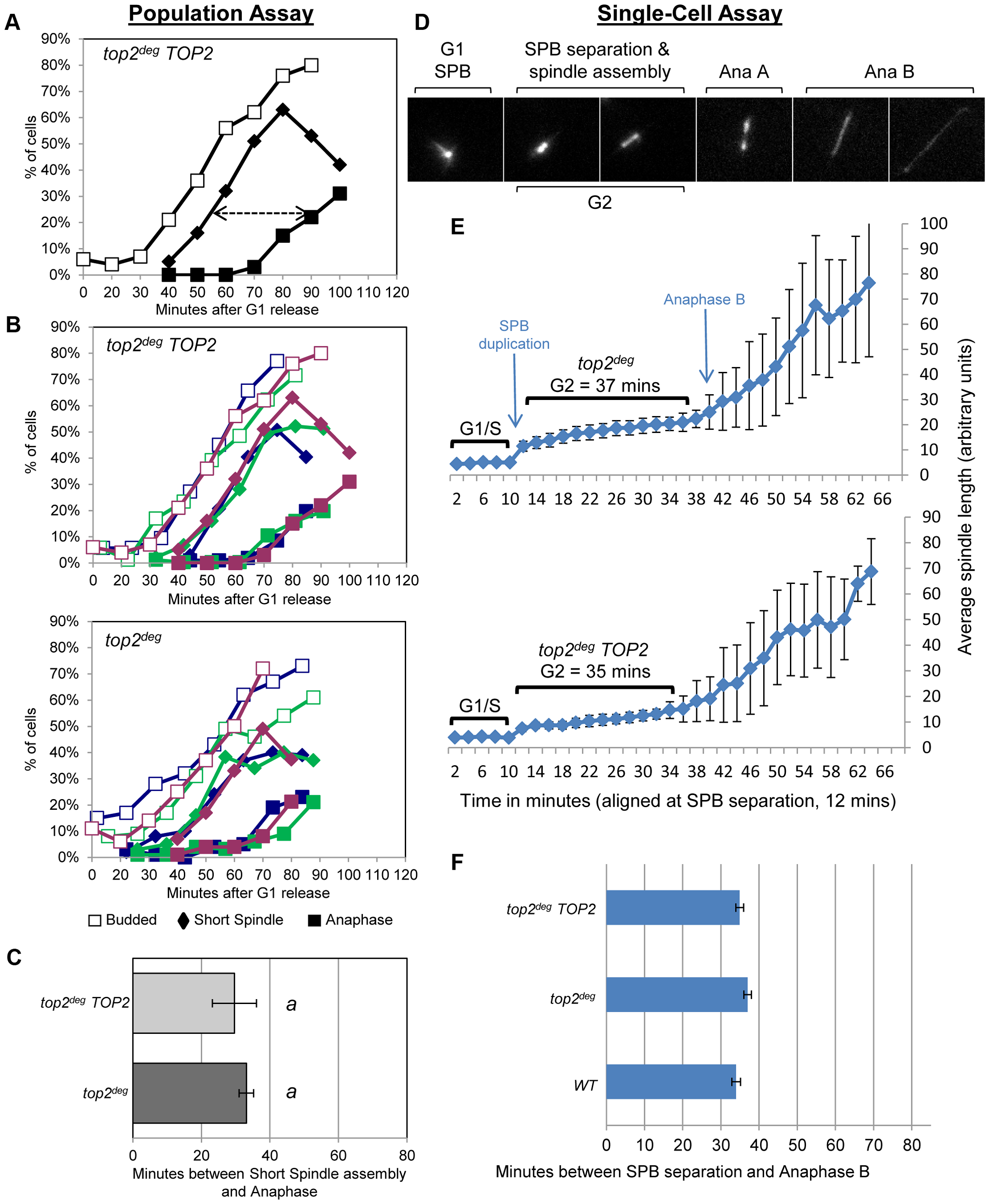 Analysis of G2/M Cell Cycle Checkpoint Activation in <i>top2</i> Mutants.