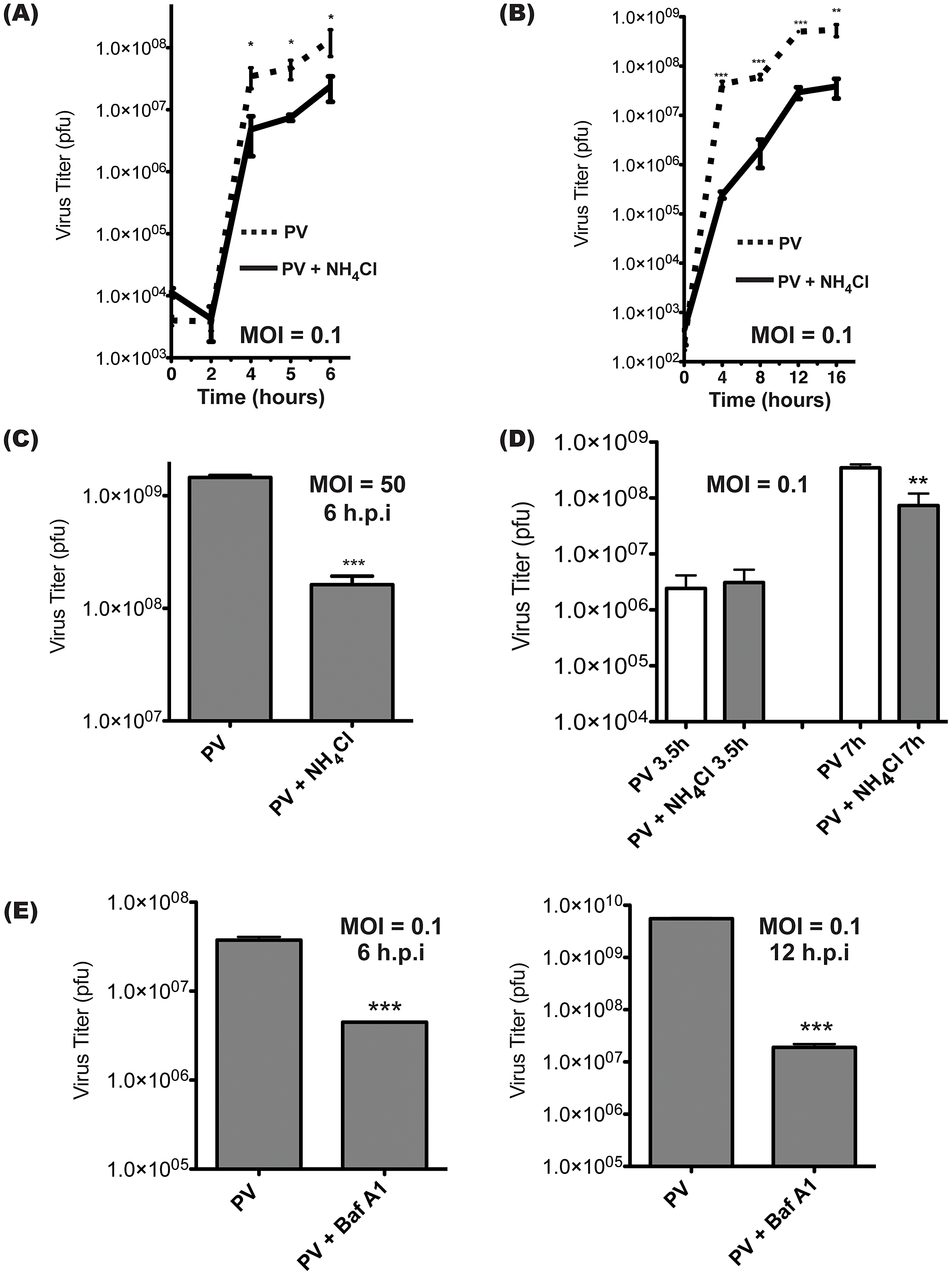 Intracellular poliovirus yields are reduced when cells are treated with inhibitors of vesicle acidification.