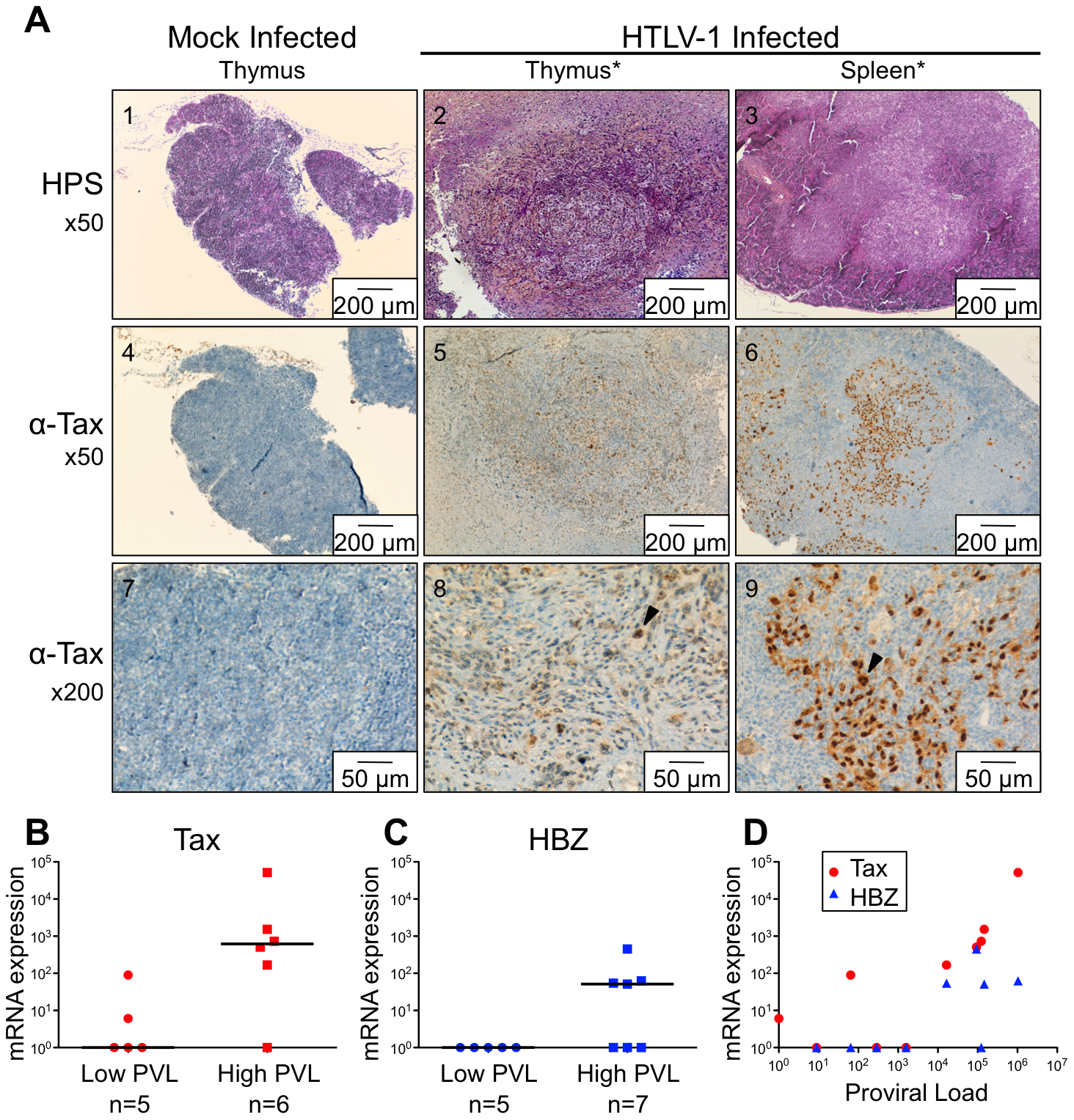 Expression of Tax and HBZ in thymocytes isolated from HTLV-1-infected HIS Rag2<sup>-/-</sup>γ<sub>c</sub><sup>-/-</sup> mice.