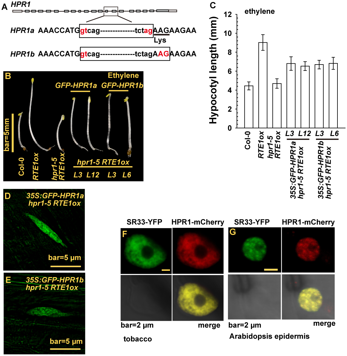 <i>HPR1</i> produces 2 transcripts and HPR1 subcellular localization.