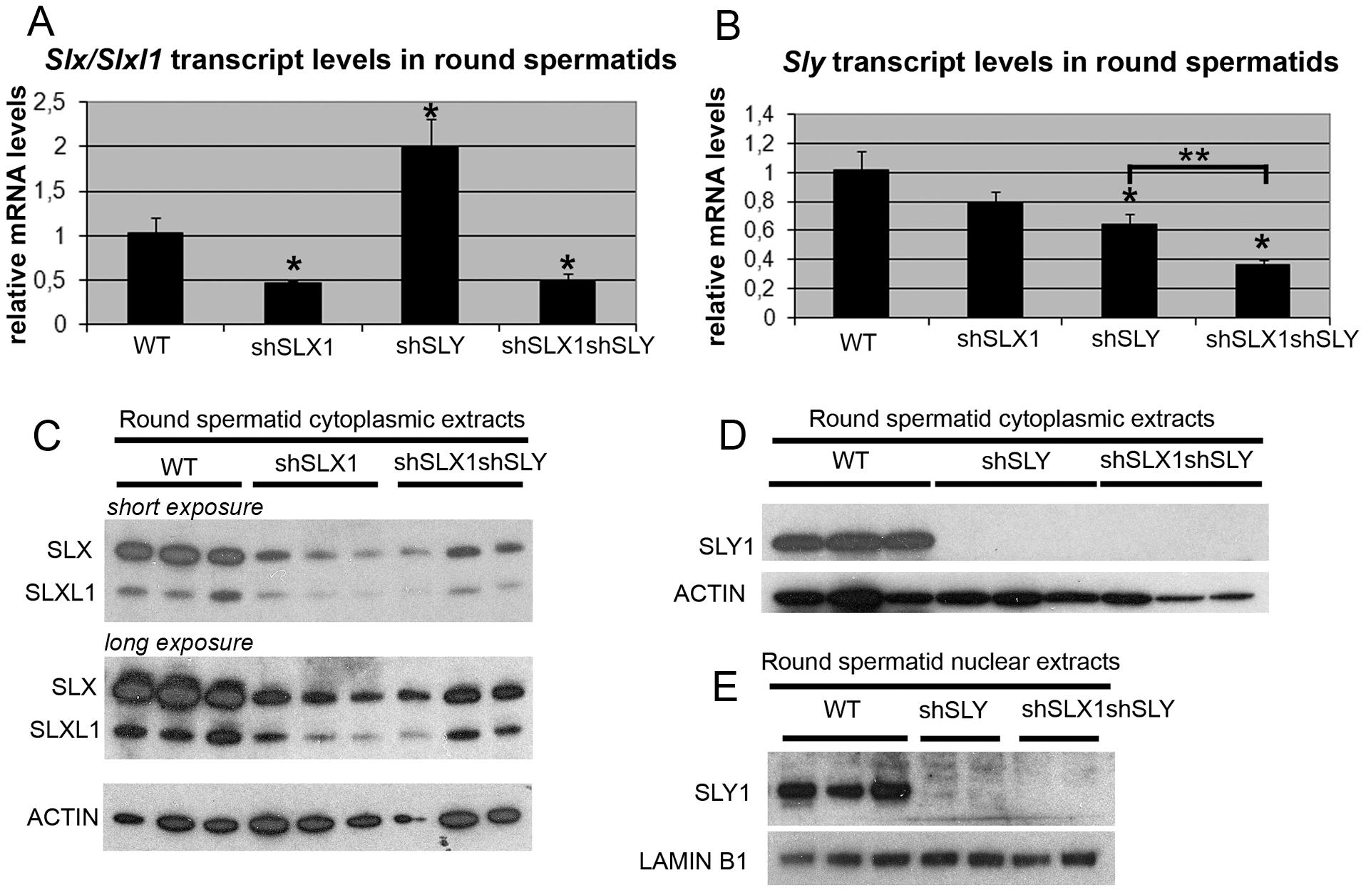 The combination of shSLX and shSLY transgenes produces an efficient knockdown of <i>Slx/Slxl1</i> and <i>Sly</i> genes.